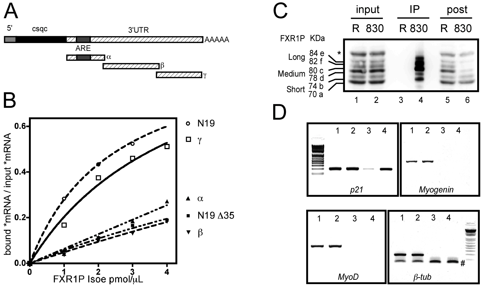 FXR1P selectively binds <i>in vitro</i> to the distal portion of <i>p21</i> mRNA 3′ UTR and associates <i>in vivo</i> with <i>p21</i> mRNA.