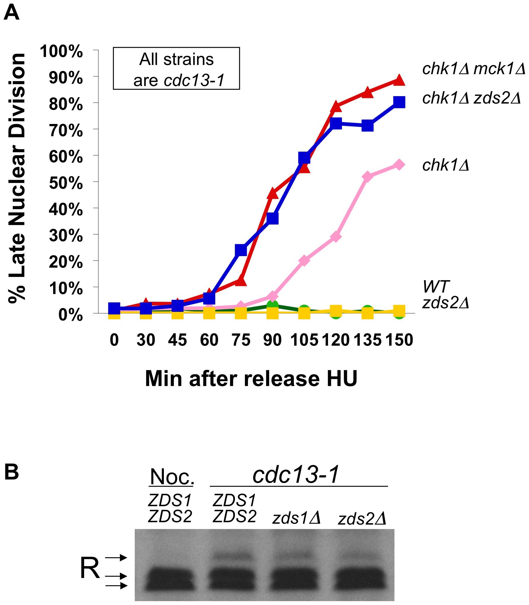 Zds2 has a role in the DNA damage checkpoint.