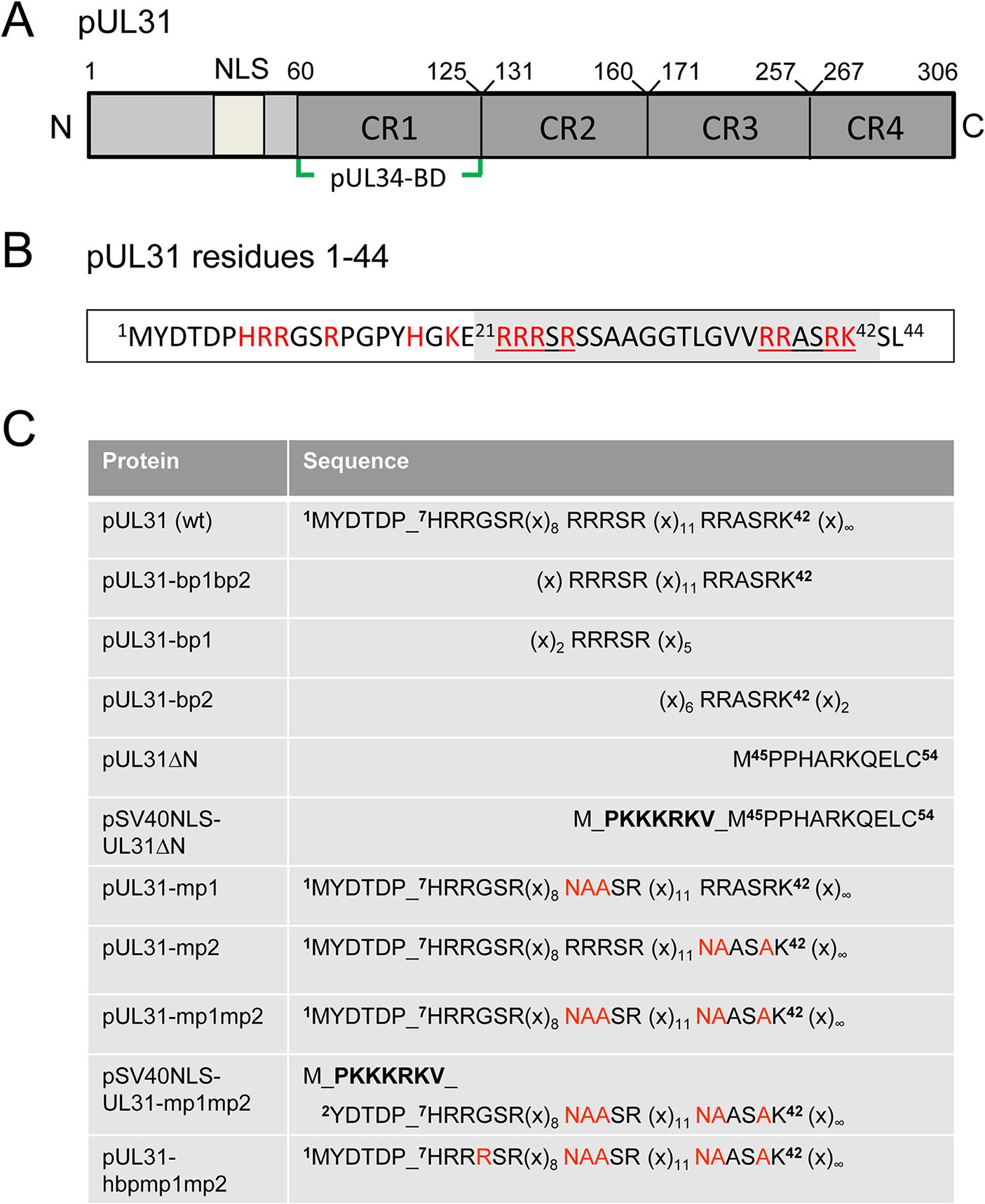 Domain organization and N-terminal mutants of pUL31.