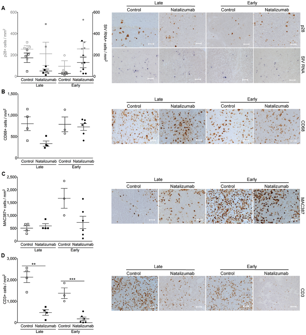 There are fewer CD3+ T cells, but not monocyte/macrophages in lymph node with natalizumab treatment.