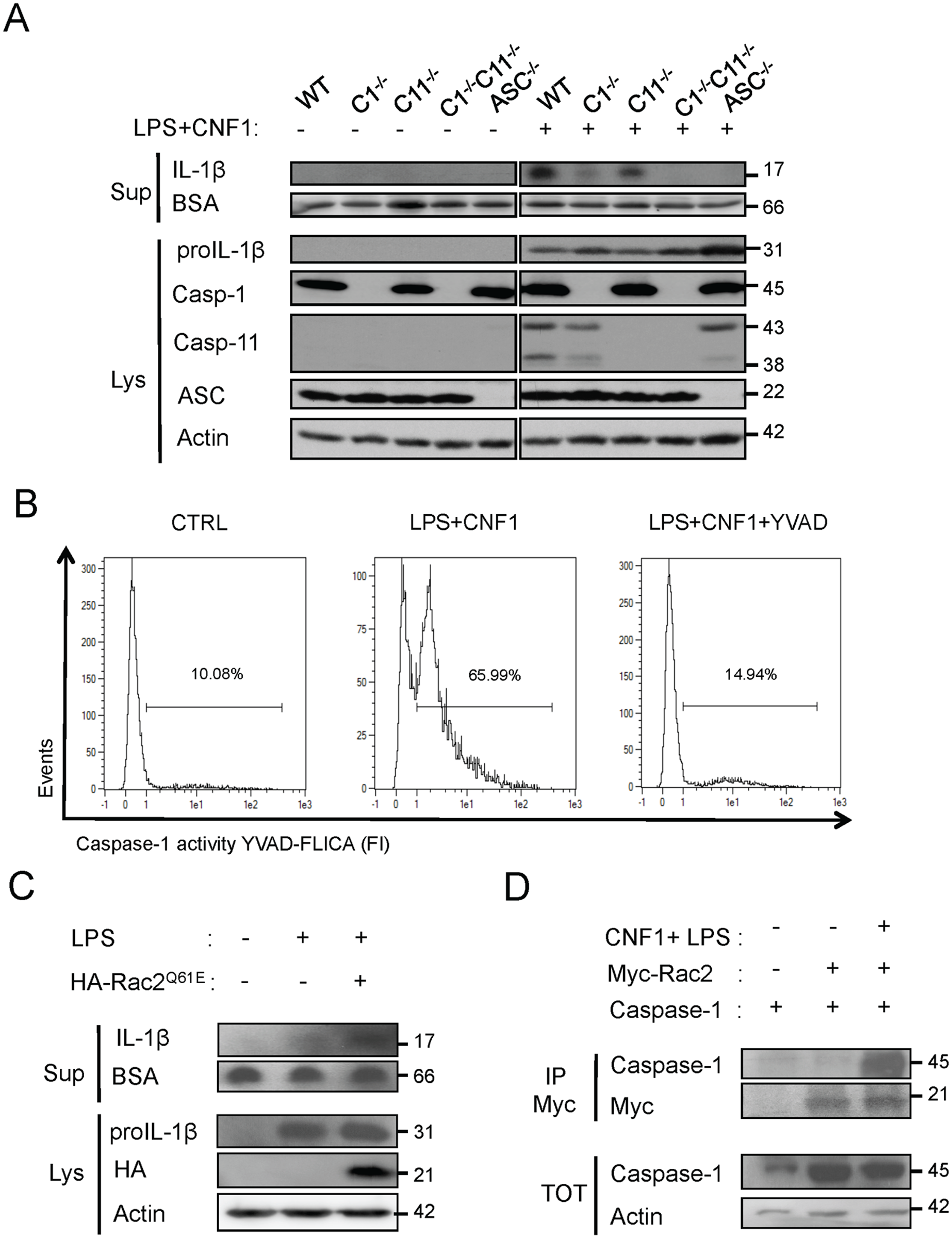 CNF1-triggered IL-1β maturation requires activated Rac, ASC and caspase-1.
