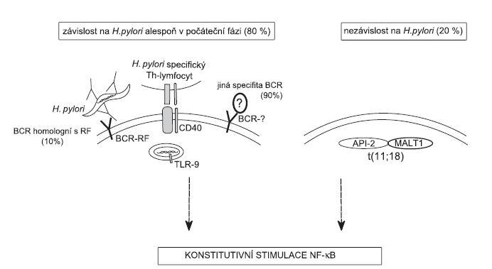 Model vysvětlující možný molekulární mechanismus vzniku lymfomu žaludku (MZL typu MALT) v prostředí chronické infekce H. pylori: Proliferace nádorových buněk je závislá na konstitutivní aktivaci dráhy NF-κB. Tato dráha může být aktivována souběžnou stimulací BCR/CD40/TLR-7/9 bakteriemi a složkami imunitního systému (viz text článku) nebo jako následek translokace t(11;18). Dokud je dráha NF-κB aktivována v důsledku přítomnosti H. pylori, může vést vyléčení bakteriální infekce k regresi nádoru. Hromadění genetických změn v nádorových buňkách může mít za následek aktivaci dráhy NF-κB bez závislosti na stimulech z vnějšího prostředí a u části pacientů také k progresi do DLBCL. BCR – B-lymfocytárního receptor, CD40 – receptor interagující s ligandem CD40L Th-lymfocytů, TLR-7/9 – Toll-like receptor interagující s CpG úseky DNA, RF – revmatoidní faktor = BCR receptor nebo protilátka rozpoznávající konstatní oblast imunoglobulinu