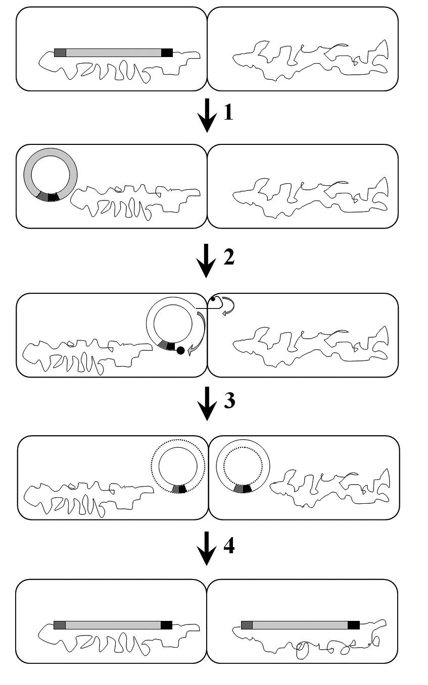 """Konjugativní transpozice. 1 – excize, 2 – konjugativní přenos, 3 – """"replikace"""", 4 – integrace. Podle [54]. <b>Fig. 7.</b> Conjugative transposition. 1 – excision, 2 – conjugative transposition, 3 – """"replication"""", 4 – integration. According to [54]."""
