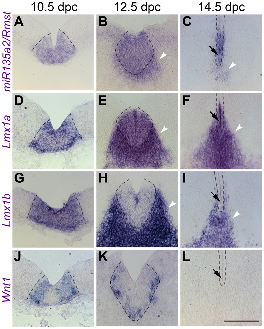 Temporal exclusion of <i>miR135a2/Rmst</i> and <i>Lmx1b/Wnt1</i> in mDA progenitors.
