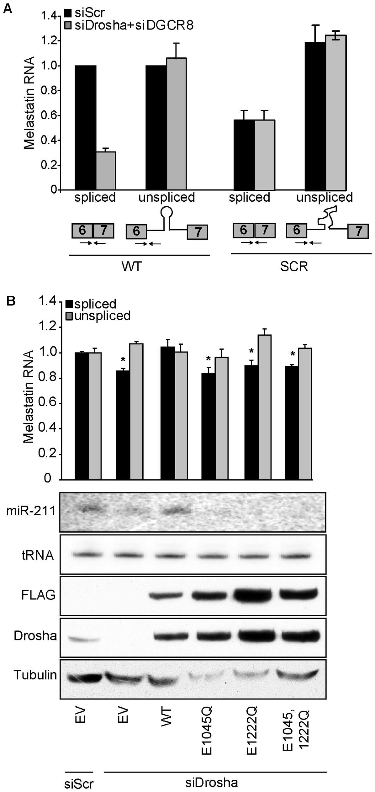 The RNase III activity of Drosha is required to promote splicing at a miR-211–hosting intron.