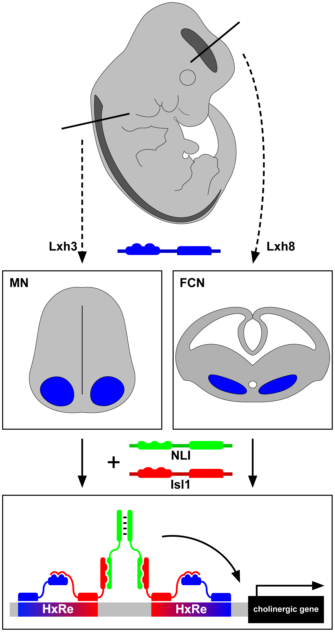 LIM-homeodomain proteins Lhx3 and Lhx8 induce the cholinergic neurotransmitter identity in spinal motor neurons and forebrain cholinergic neurons through Isl1 and NLI hexamer complex transcriptional activity.
