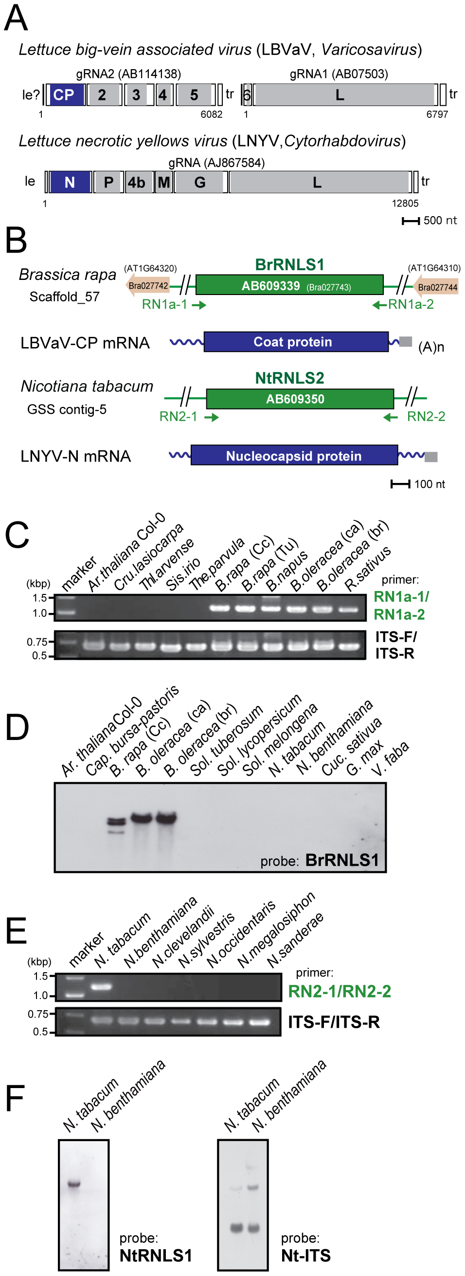 Negative-strand RNA virus-related sequences (RNLSs) from plant nuclear genomes.