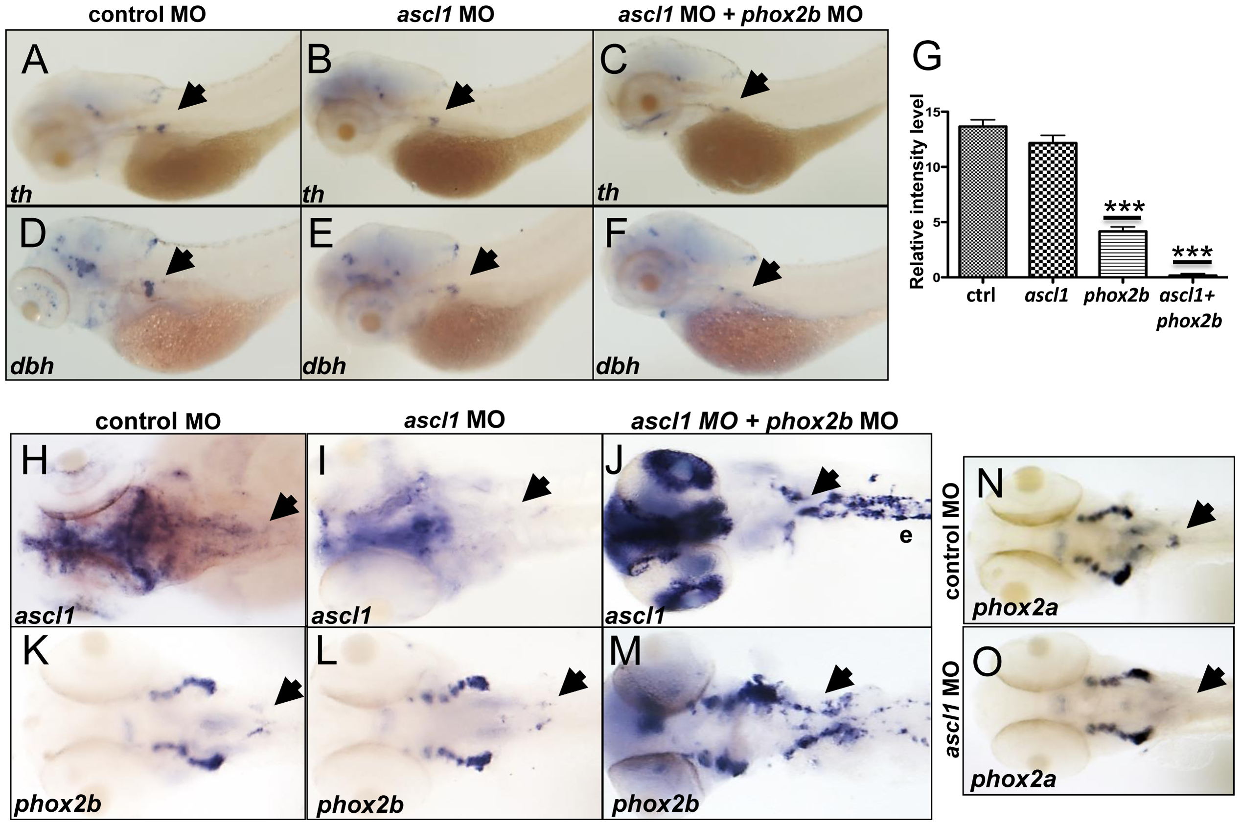 <i>phox2b</i>, but not <i>ascl1</i>, is indispensable for sympathetic neuronal differentiation.