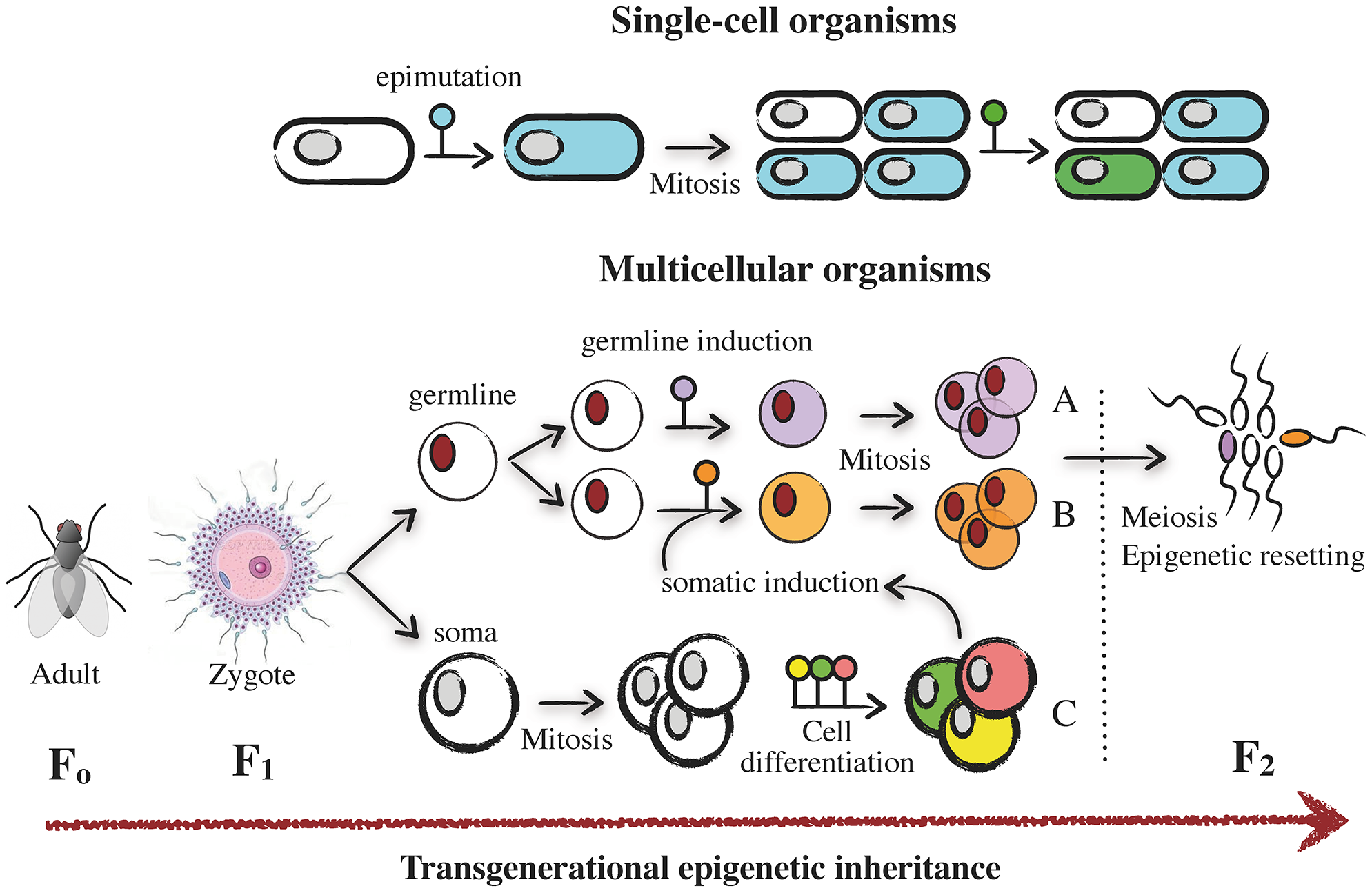 Mechanisms of epigenetic plasticity and inheritance.