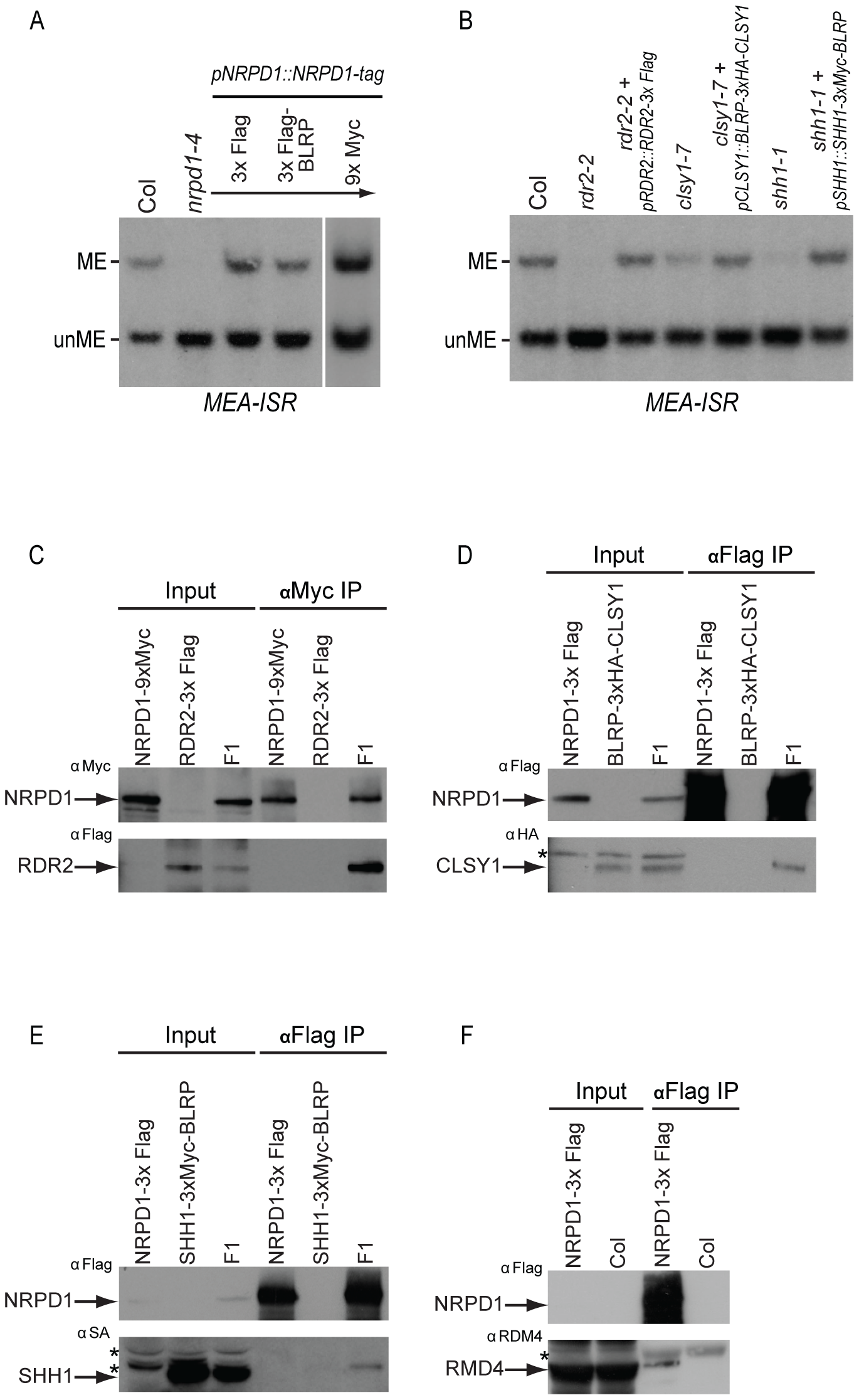 Complementation of DNA methylation defects with epitope tagged RdDM components and co-immunoprecipitation analyses.