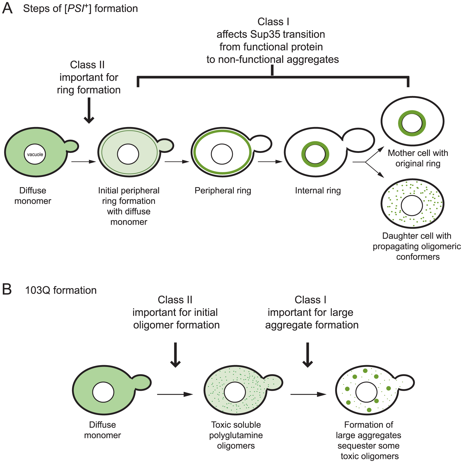 Proposed effects of class I and II genes on the multistep pathways of <i>de novo</i> prion and polyglutamine aggregate formation.