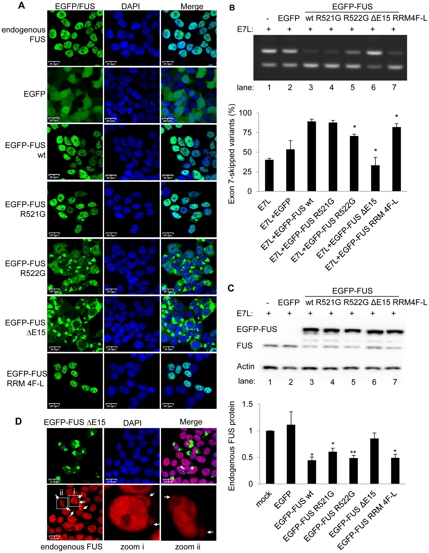 ALS-associated FUS mutants are deficient in alternative splicing and autoregulation.