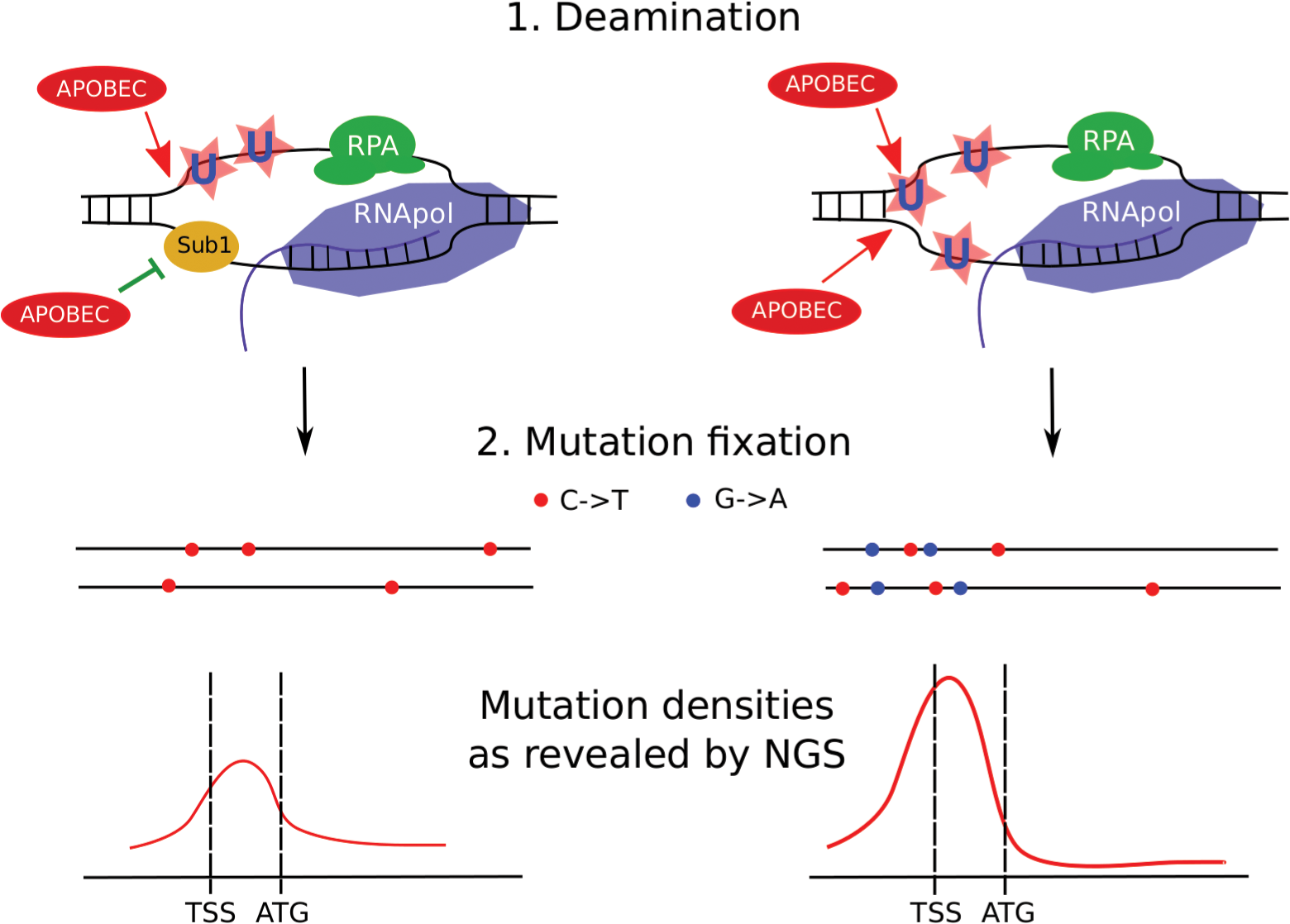 Model of transcription-dependent induction of clustered mutations in diploid cells.