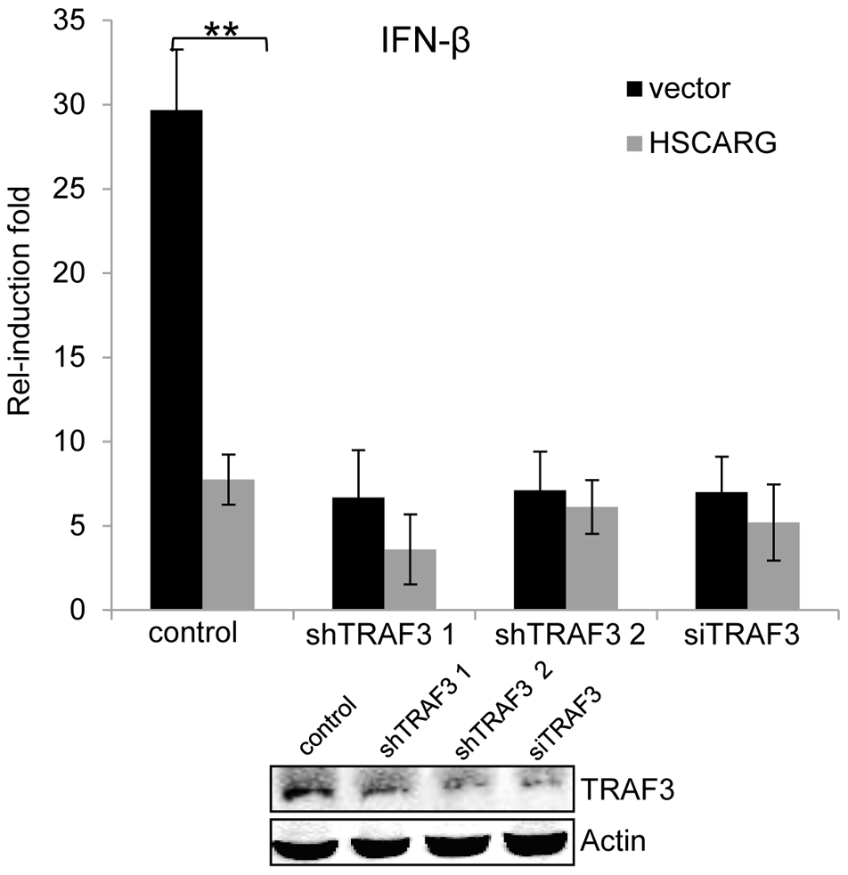TRAF3 is necessary for HSCARG to down-regulate <i>IFN-β</i>.