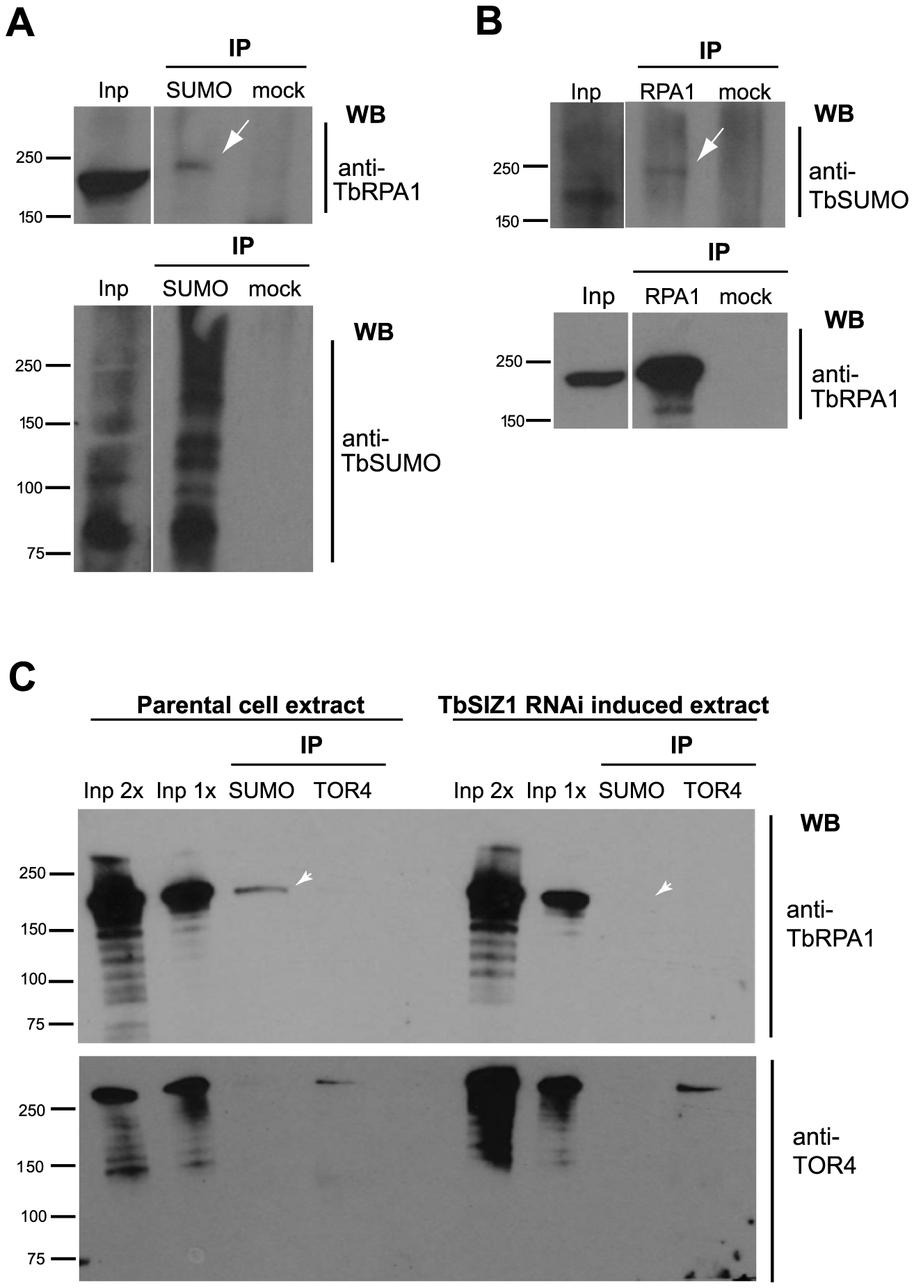 TbRPA1 is SUMOylated in <i>T. brucei</i>.