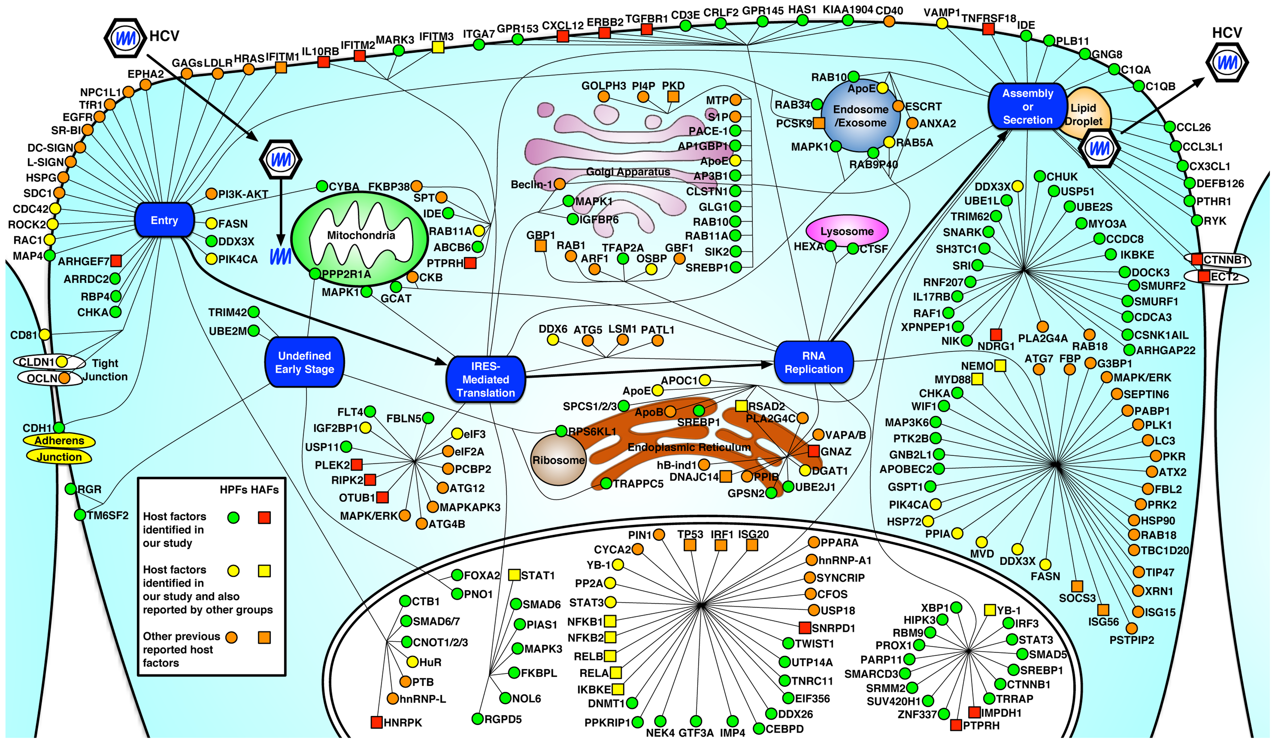 Integrated map of host dependencies in the complete replication cycle of HCV.