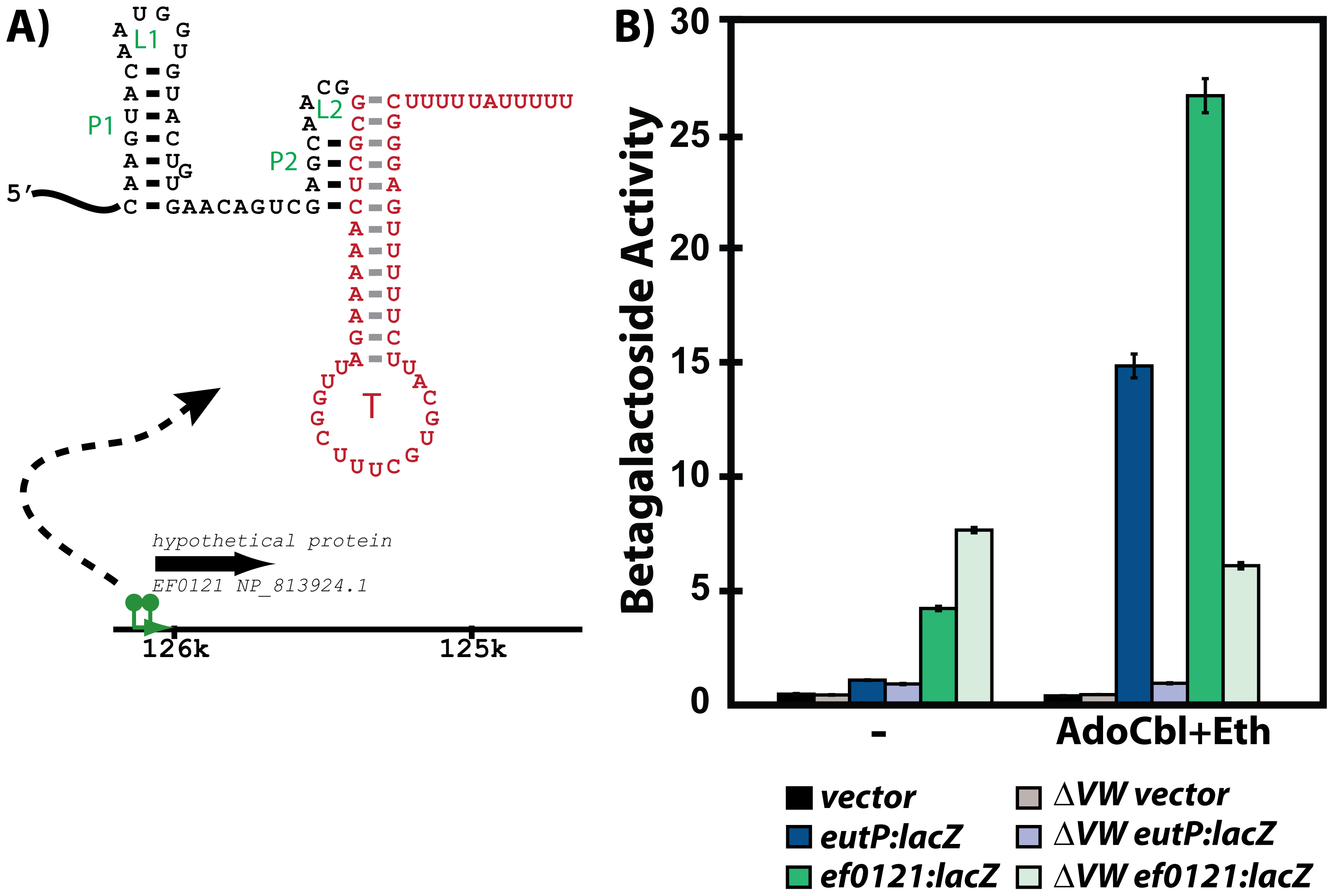 Responsiveness of the <i>ef0120</i> leader region to regulation by EutVW.