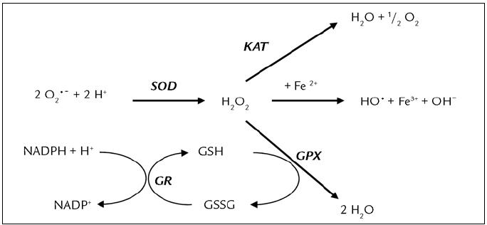 Vzájemný vztah antioxidačních enzymů [35]. Kataláza (KAT), superoxiddismutáza (SOD), glutationreduktáza (GR), glutationperoxidáza (GPX), redukovaný glutation (GSH), oxidovaný glutation (GSSG).