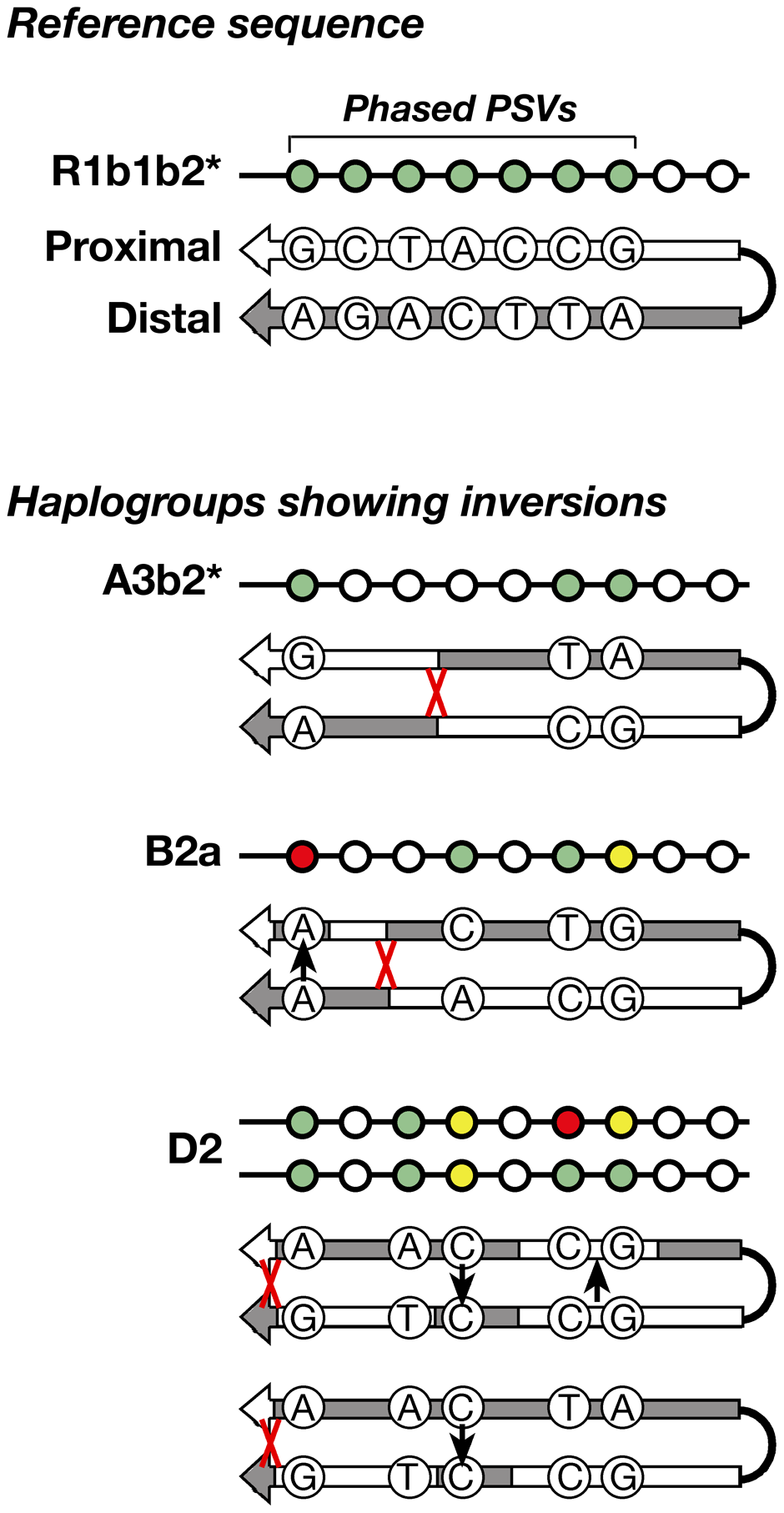 Schematic representation of the inversions identified within three haplogroups.