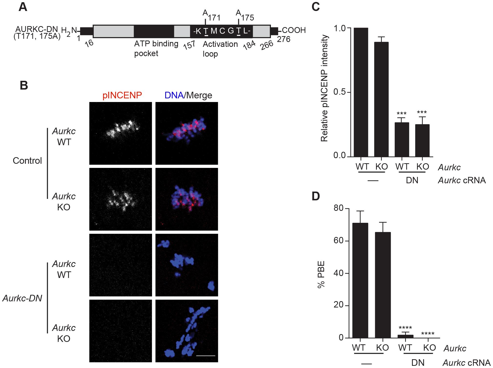Dominant-negative AURKC (AURKC-DN) disrupts both AURKB/C function in oocytes.