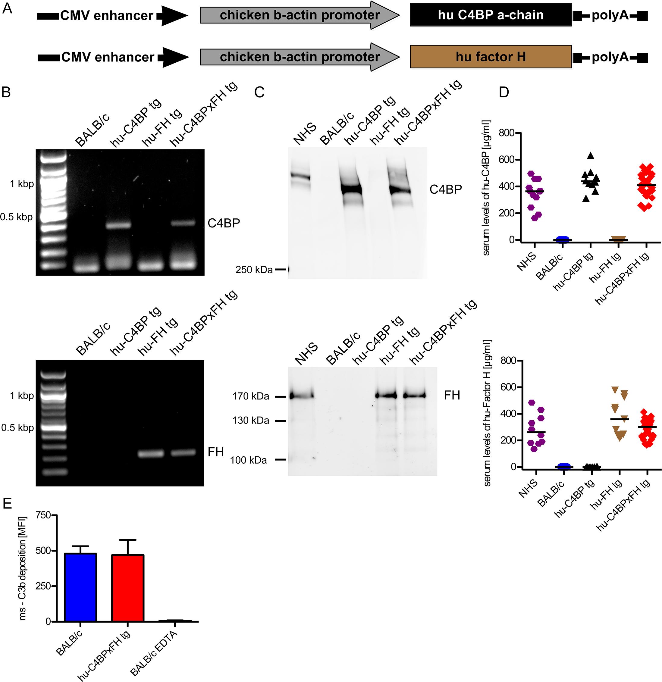 Construction of hu-C4BP, hu-FH and C4BPxFH tg BALB/c mice.