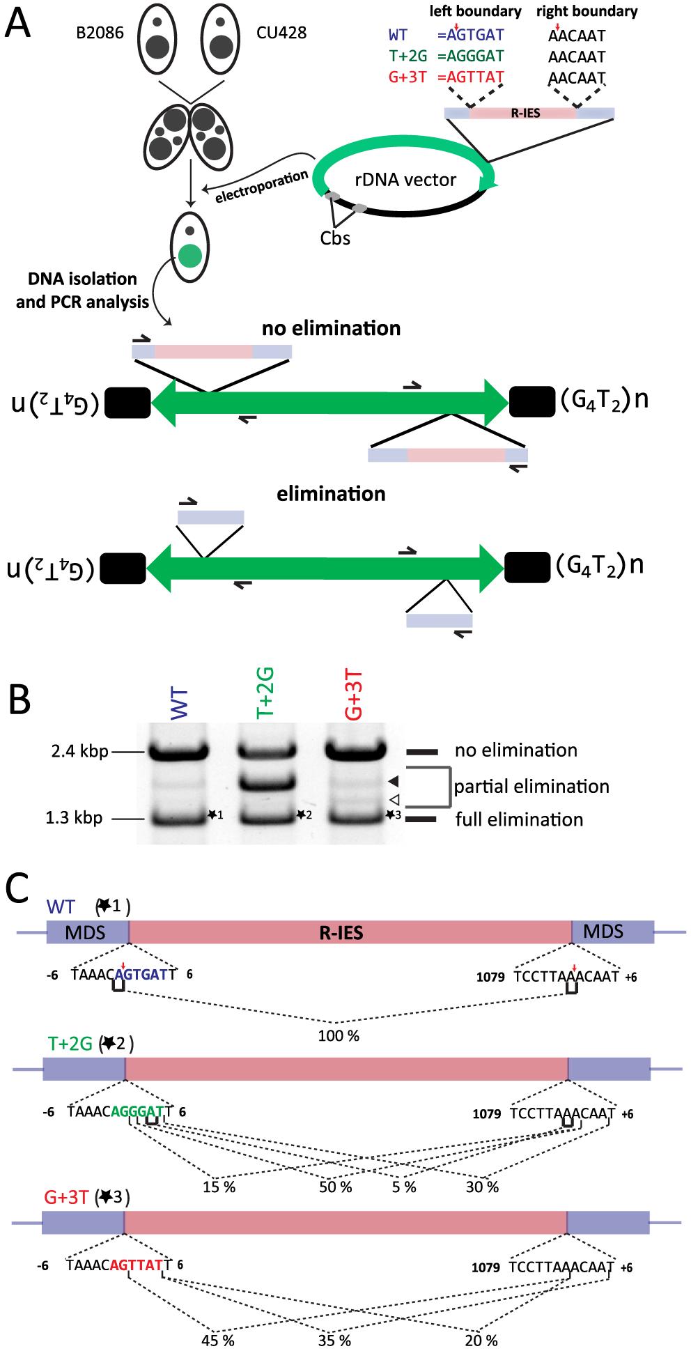 In vivo elimination assay using mutated R-IES boundaries.
