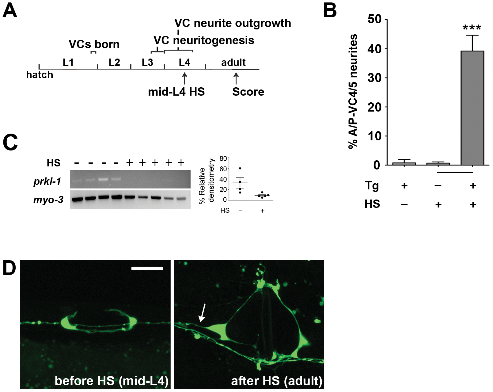 PRKL-1 is required persistently to inhibit neurite growth.