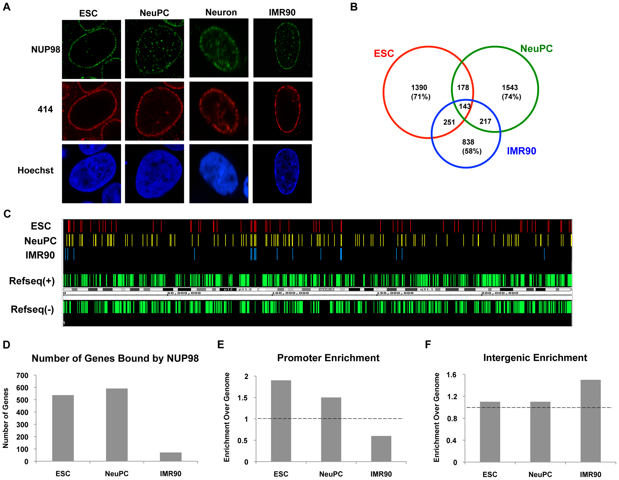 NUP98 binds to distinct genomic regions in cells of different developmental stages.