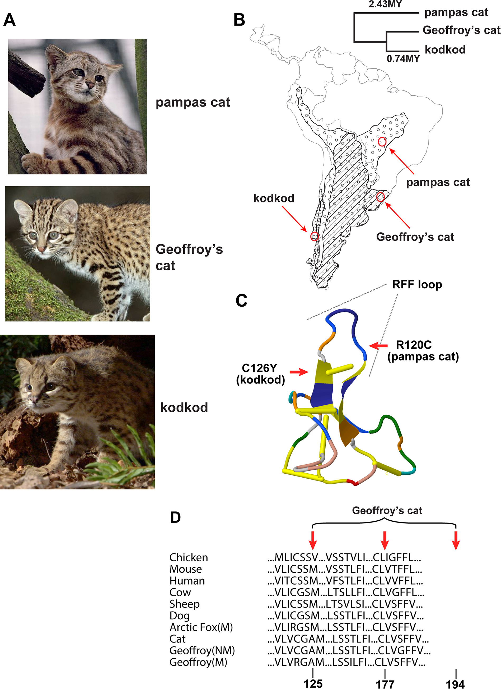 Melanism mutations and phenotypes in three <i>Leopardus</i> species