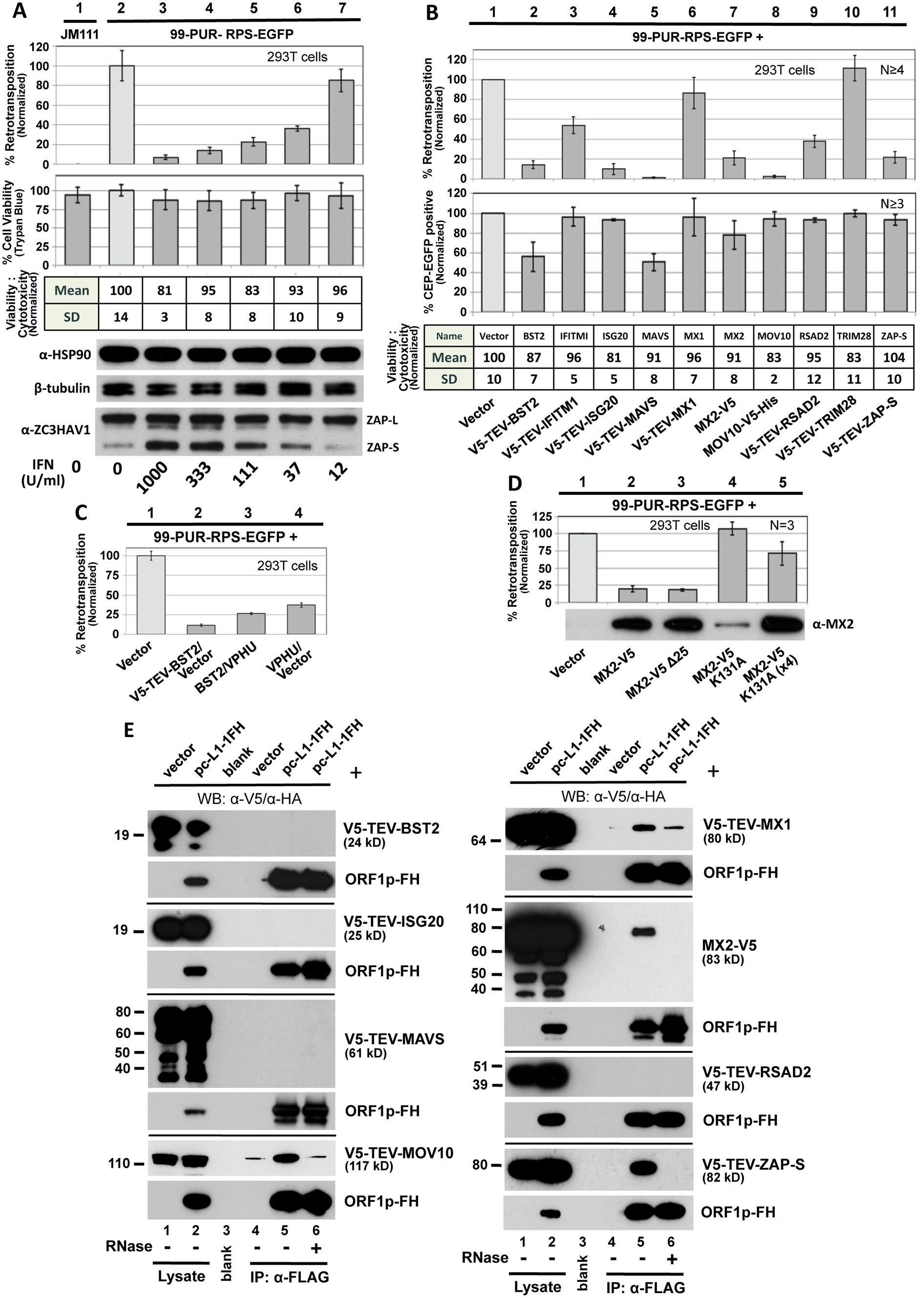 Selected ISG proteins strongly inhibit L1 retrotransposition in 293T cells.