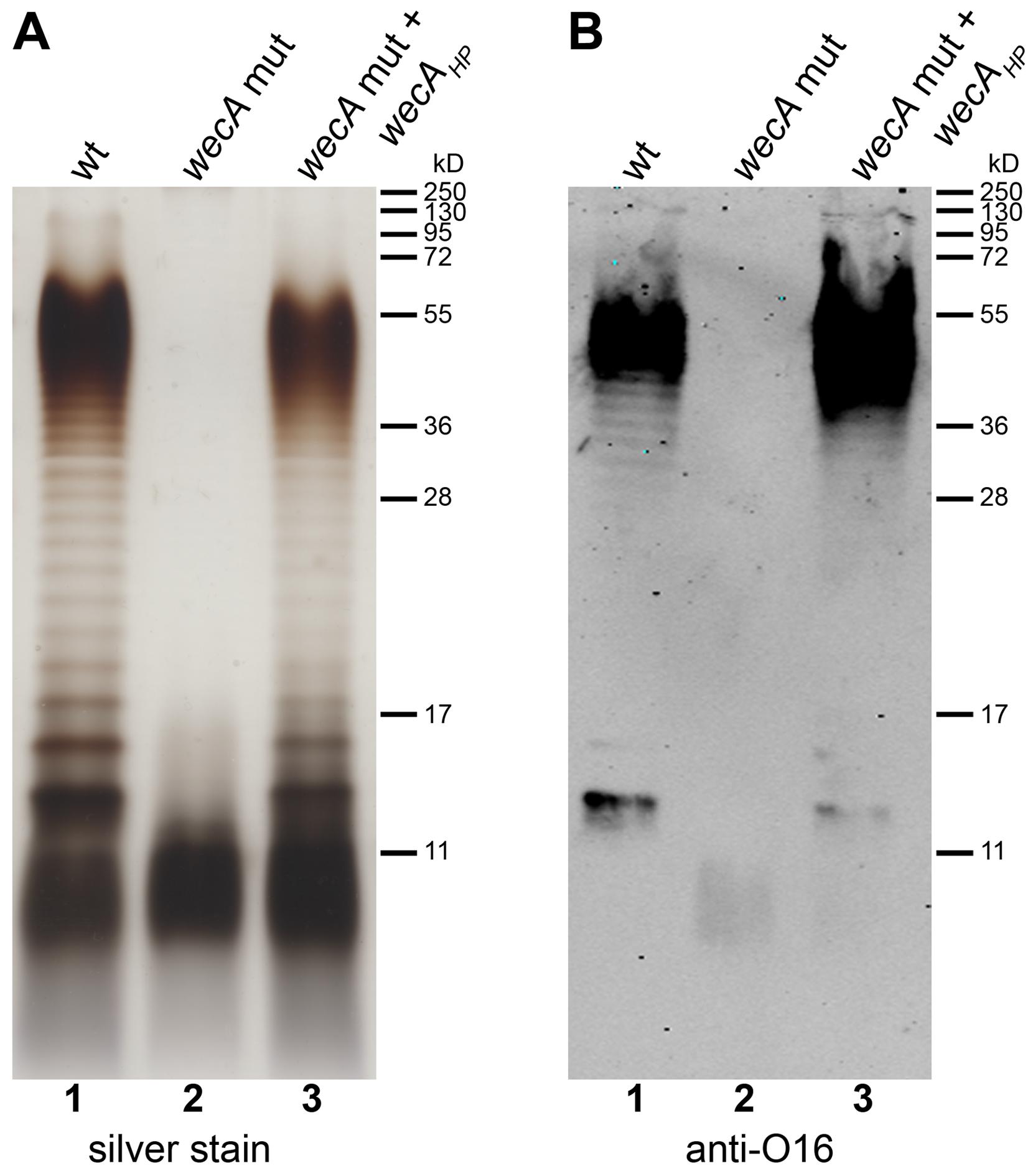 Demonstration of WecA<sub>HP</sub> activity in <i>E. coli</i>.