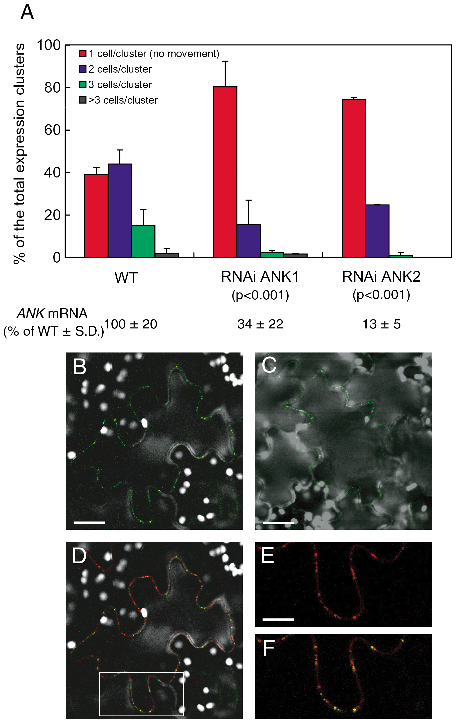 Reduced cell-to-cell movement of MP-YFP in RNAi ANK1 and RNAi ANK2 plants and colocalization of MP-YFP and PDCB-mCherry.