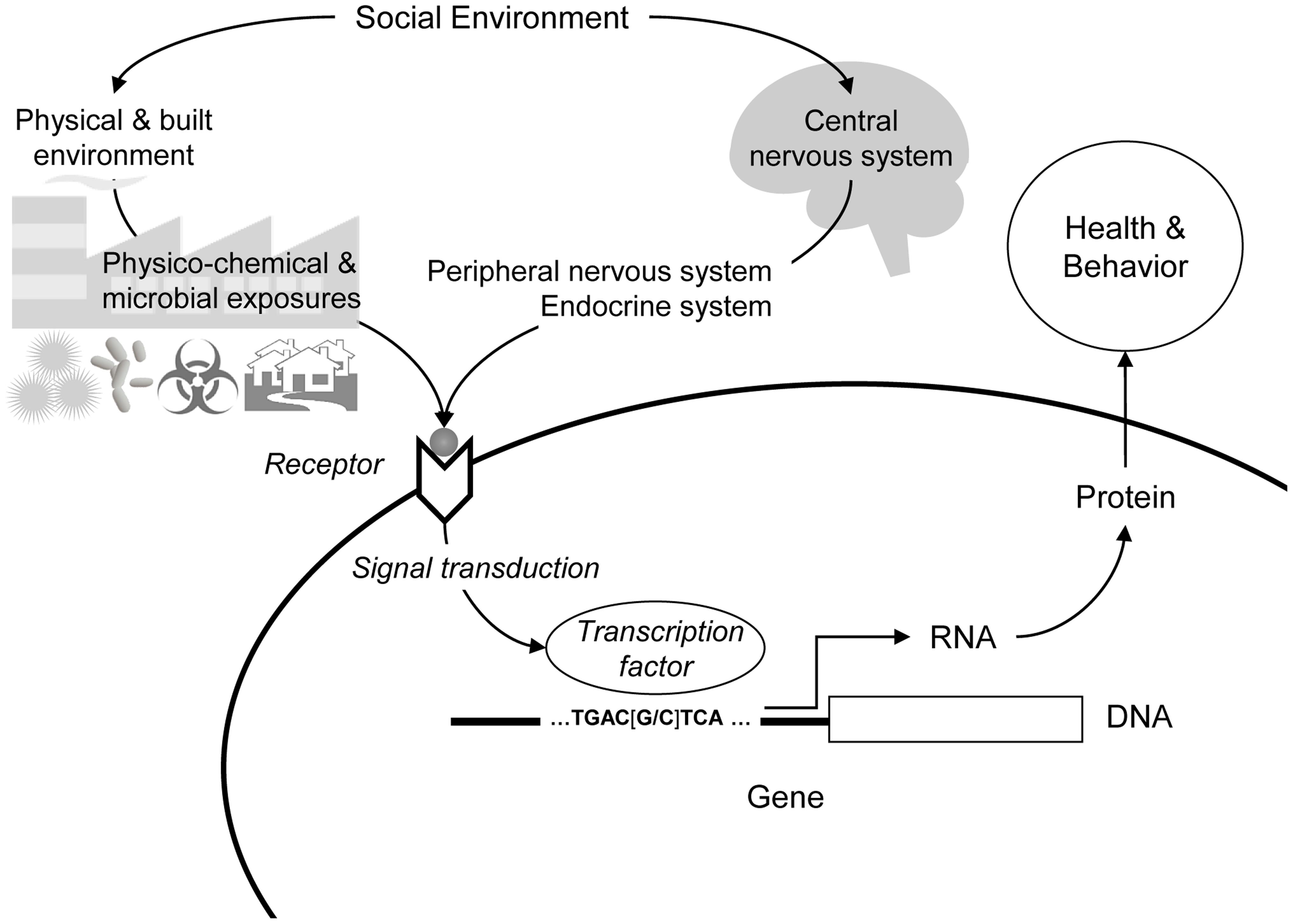 Social regulation of human gene expression.