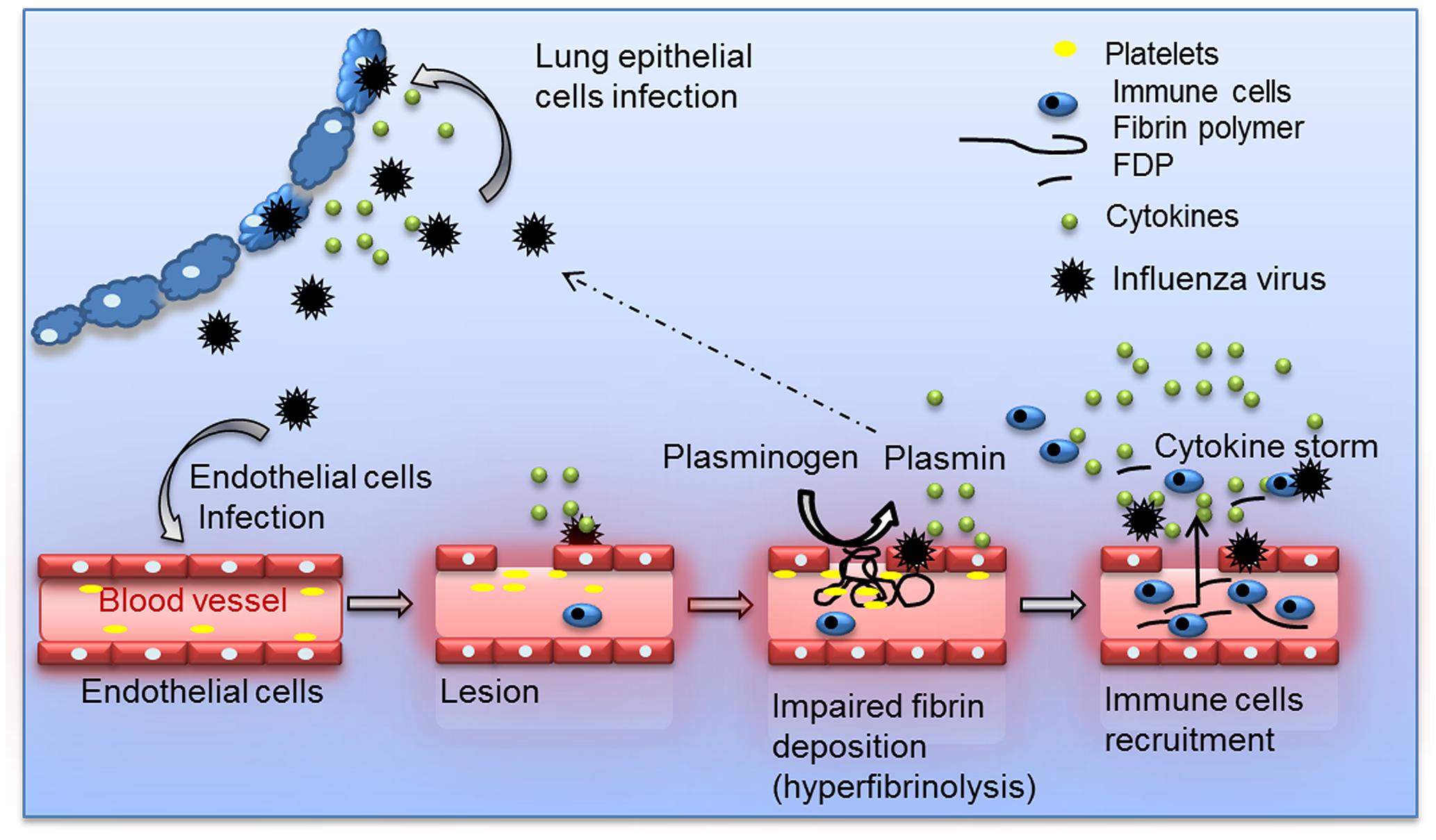 Schematic overview of the proposed model for Plasminogen-mediated influenza virus pathogenesis.