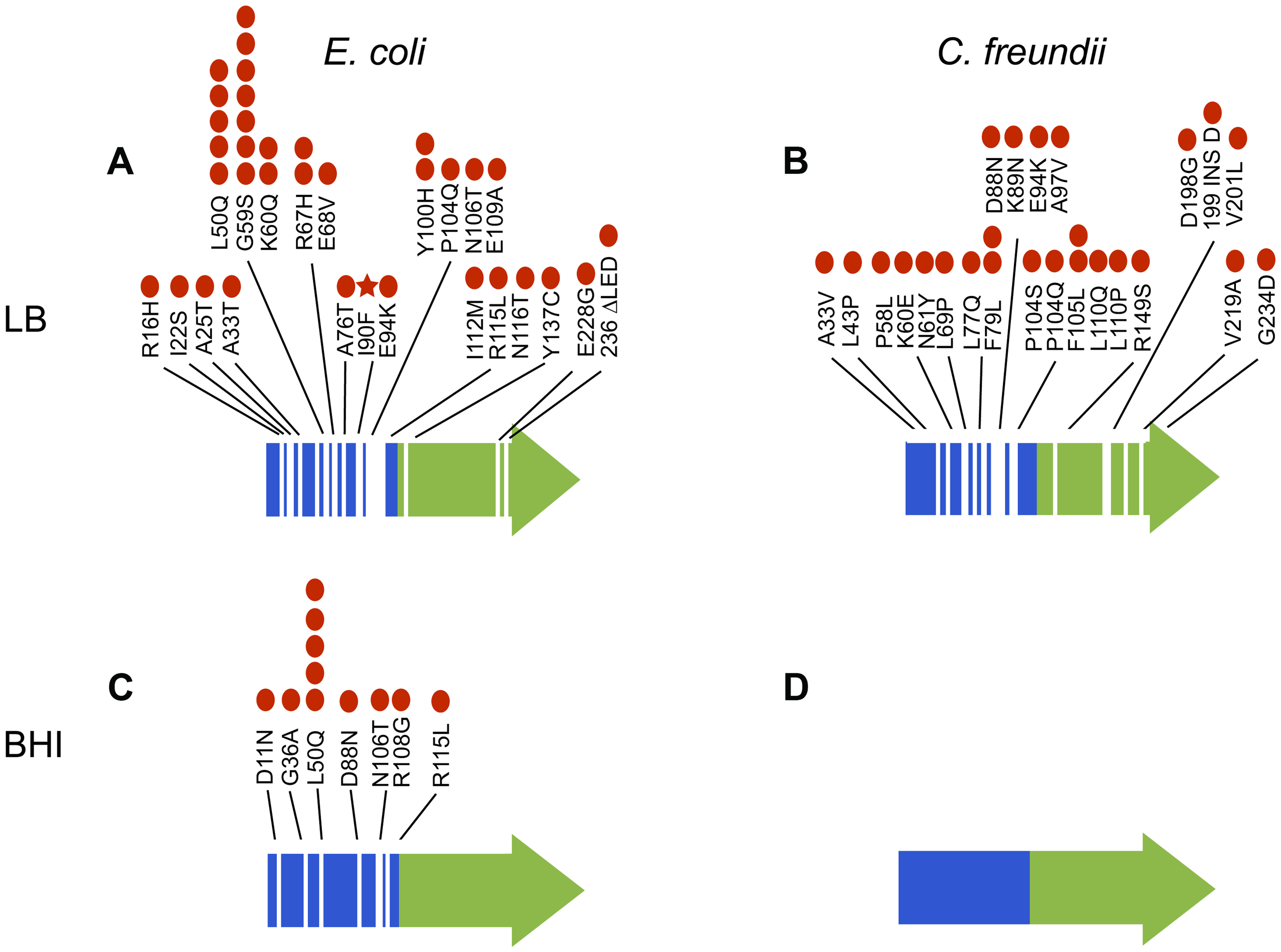 Mutations in <i>arcA</i> evolved repeatedly and with remarkable diversity both within and among populations of <i>E. coli</i> evolved in LB (A) and BHI (C) and <i>C. freundii</i> populations evolved in LB (B) and BHI (D).