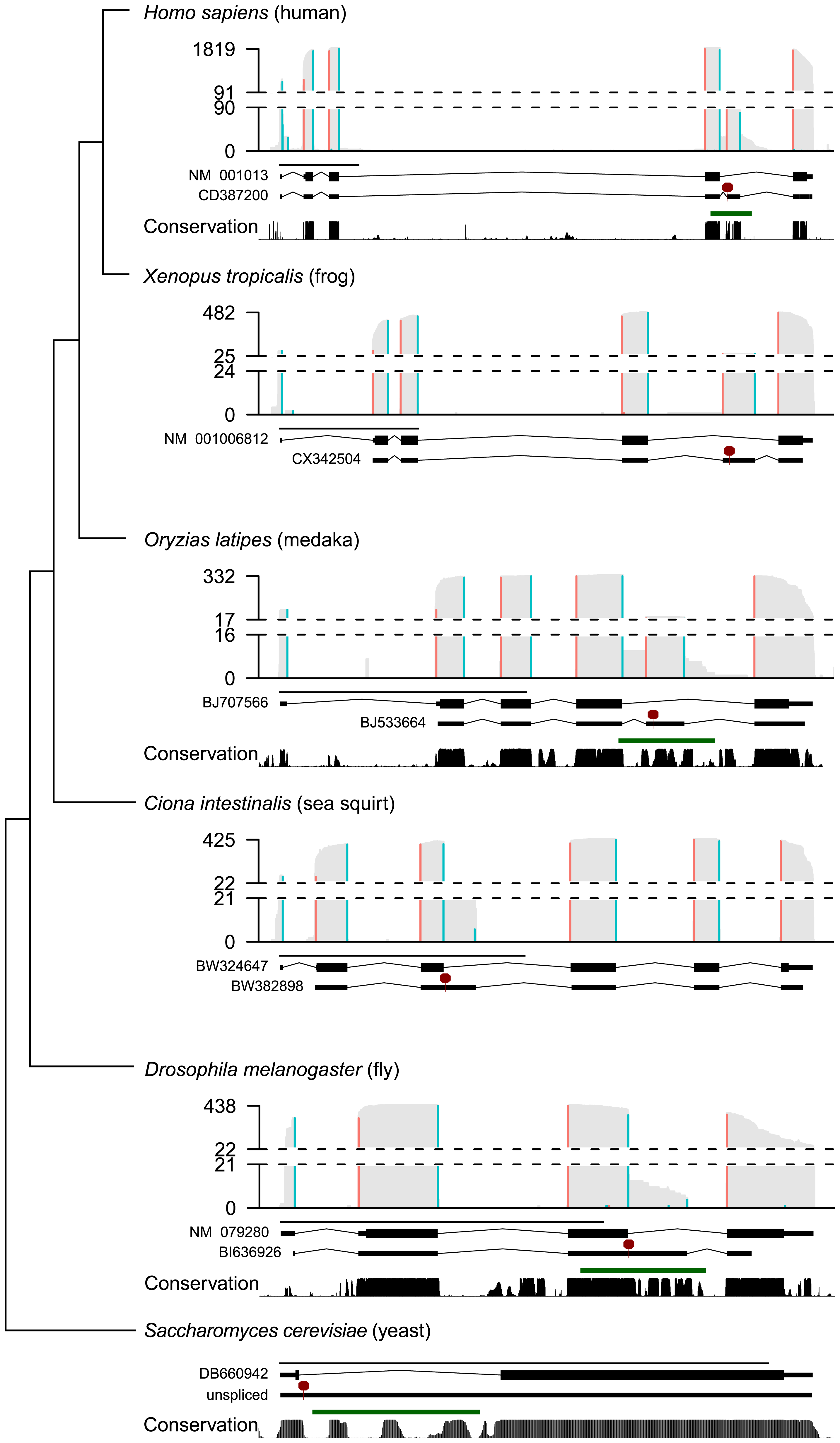 Diverse alternatively spliced <i>RPS9</i> isoforms encode PTC+ exons associated with high nucleotide conservation and predicted RNA structures.