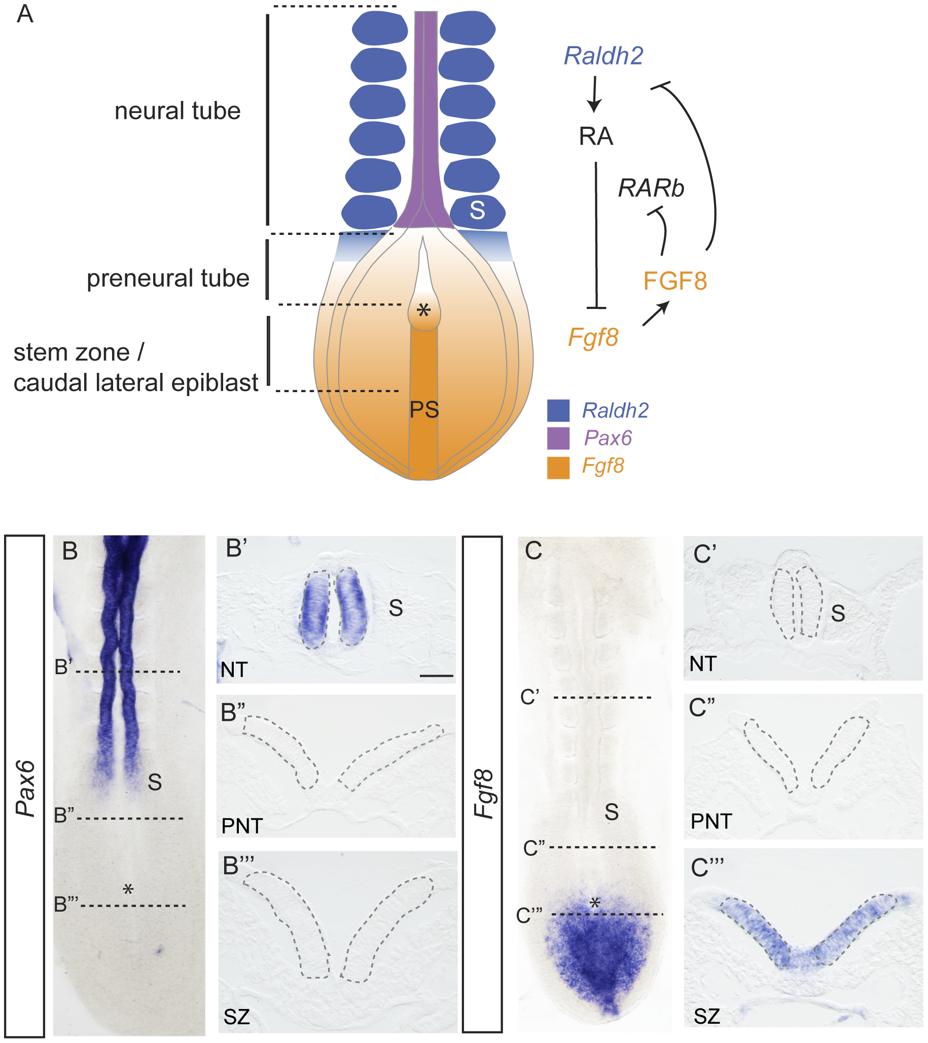 Signals regulating differentiation and expression patterns of <i>Pax6</i> and <i>Fgf8</i> along the elongating neural axis.