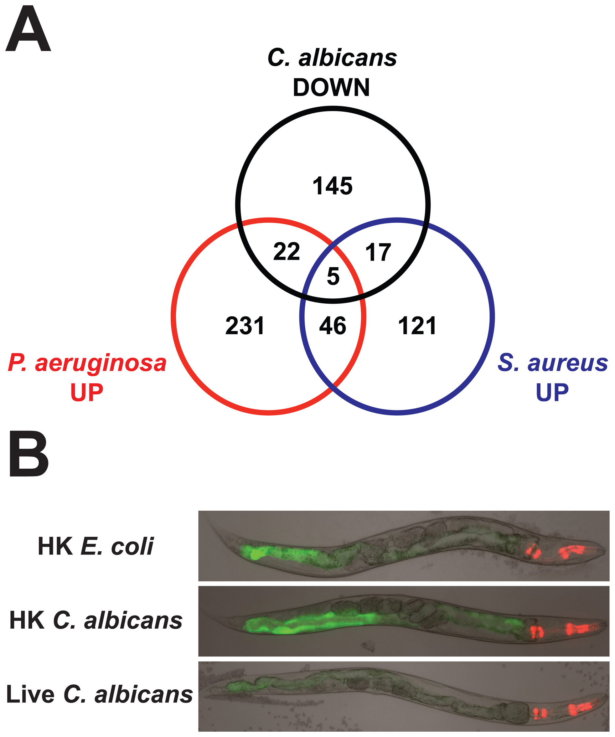 The <i>C. elegans</i> response to <i>C. albicans</i> involves the downregulation of antibacterial effectors.