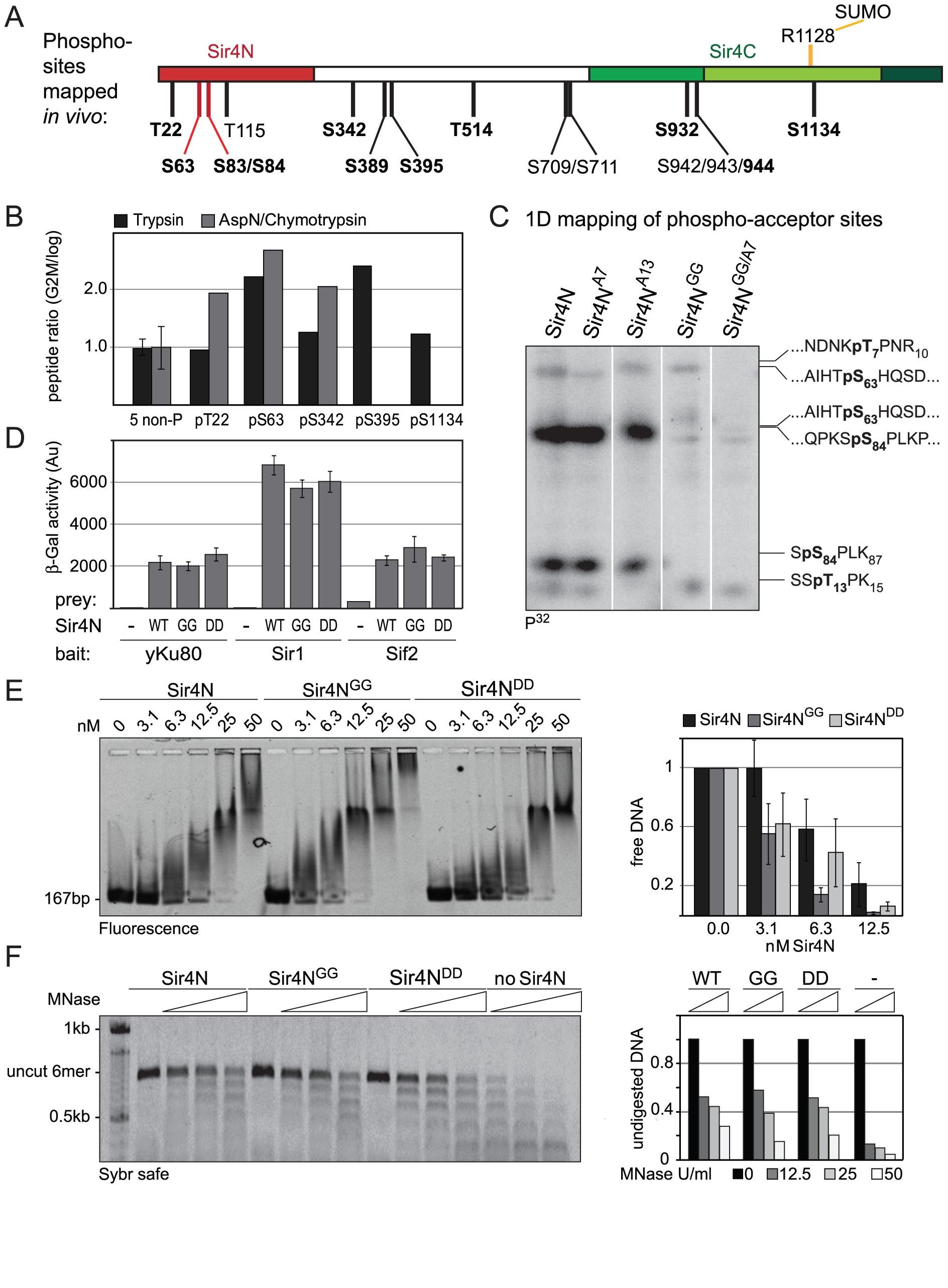 Sir4N is the major site of phosphorylation.