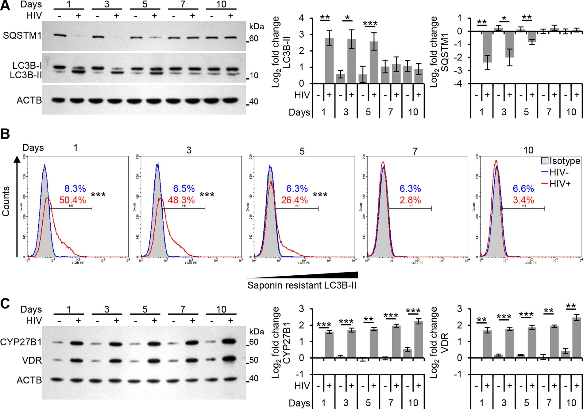 Autophagy is decreased at later time points post-infection in human macrophages.