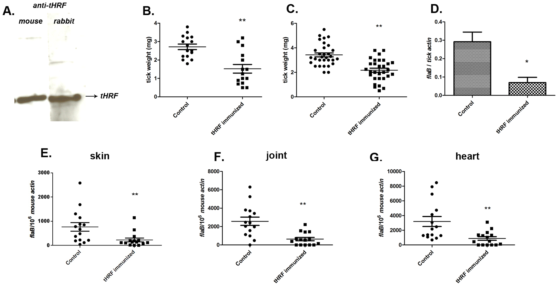 Tick feeding and <i>B. burgdorferi</i> transmission was significantly impaired in tHRF immunized mice.