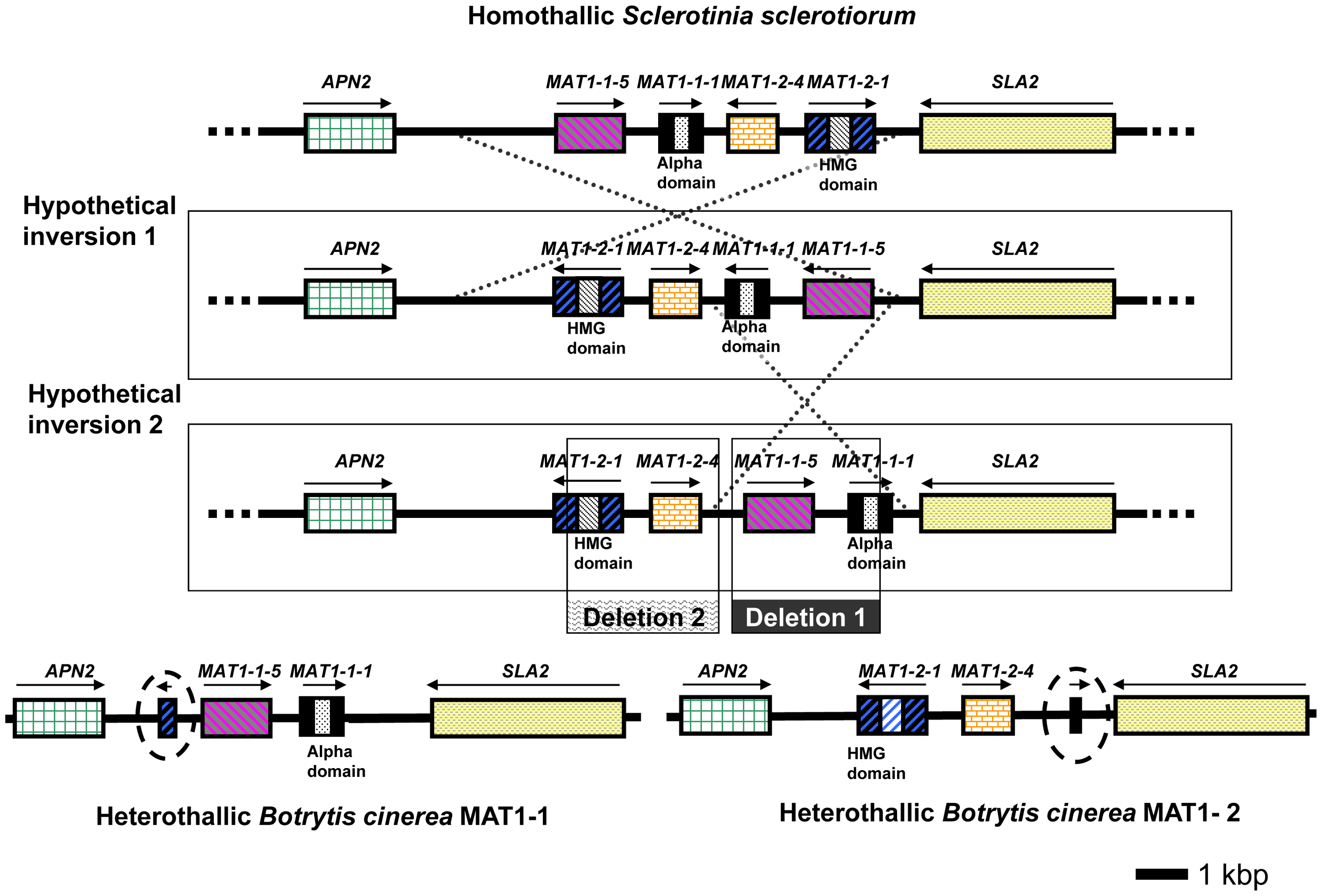 Configuration of the MAT loci in <i>S. sclerotiorum</i> and <i>B. cinerea</i> (strains B05.10 and T4).