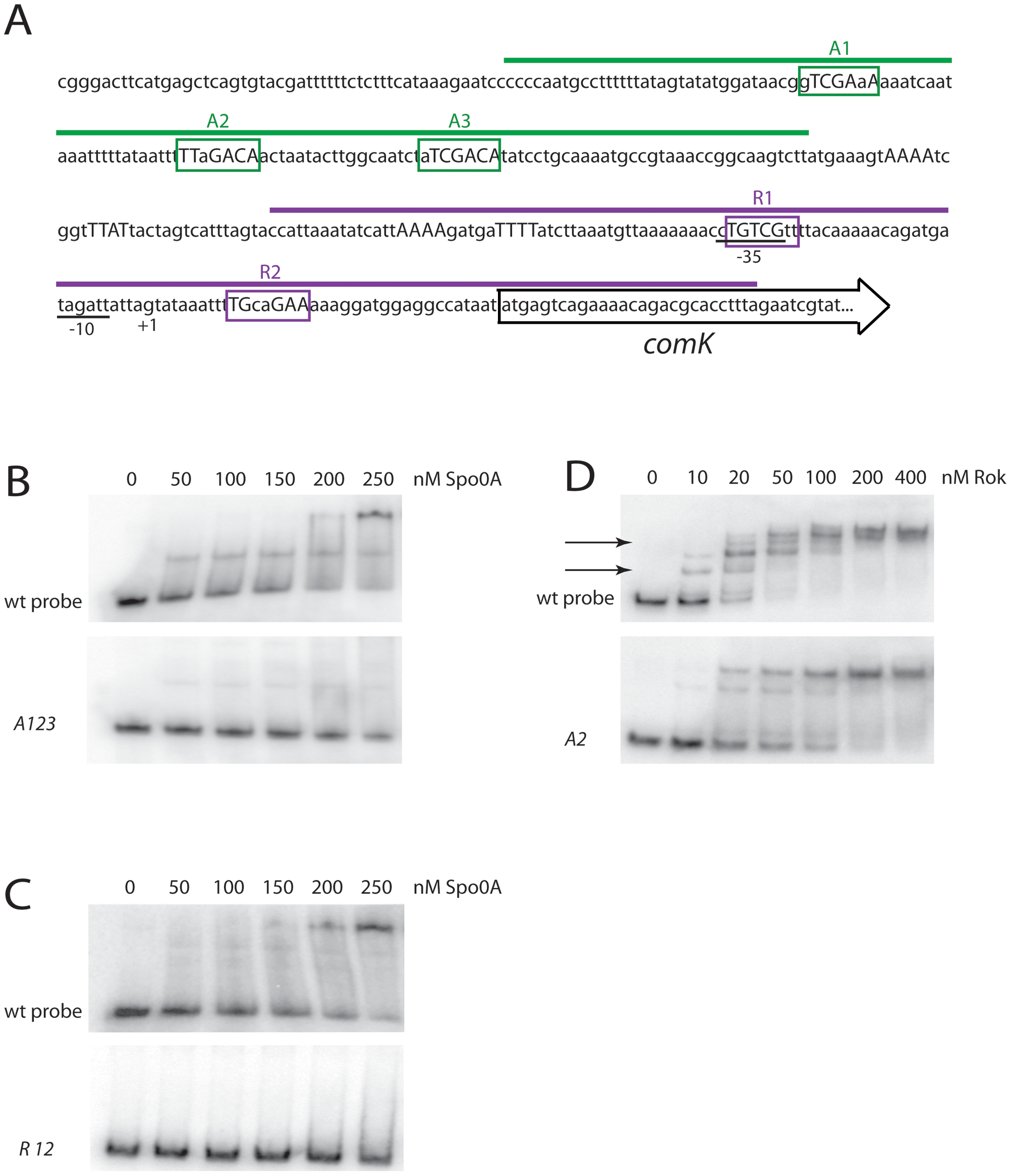 Spo0A binds directly to sequences in the <i>comK</i> regulatory region.
