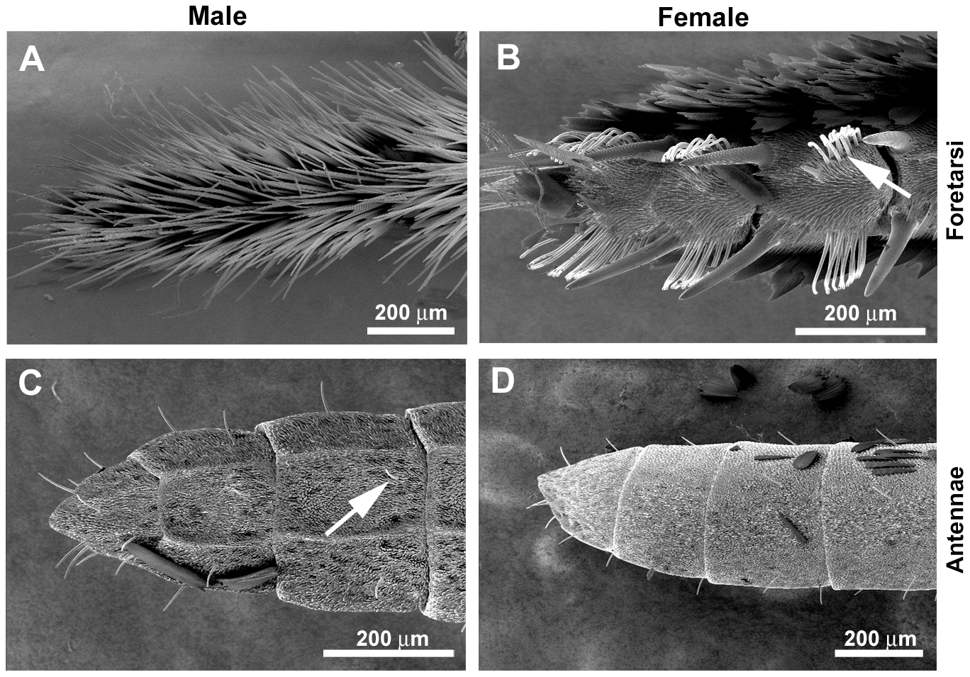 Sexual dimorphism in <i>H.</i> <i>melpomene</i> chemosensory tissues.