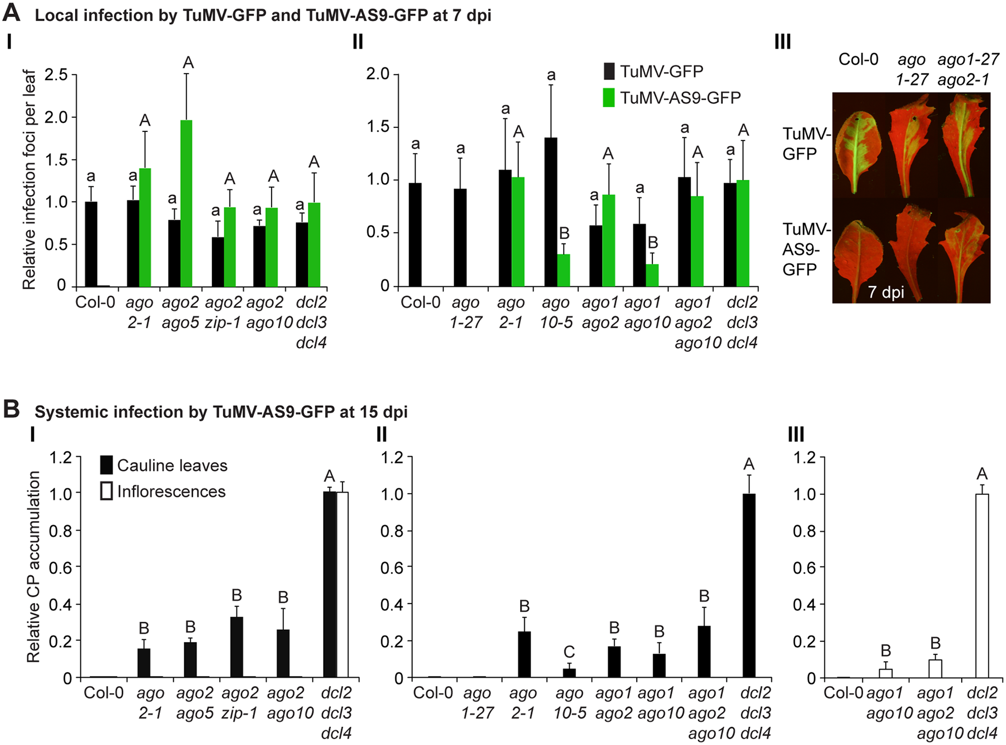 Local and systemic infection of a selected group of double and triple <i>ago</i> mutants by TuMV-GFP and TuMV-AS9-GFP.