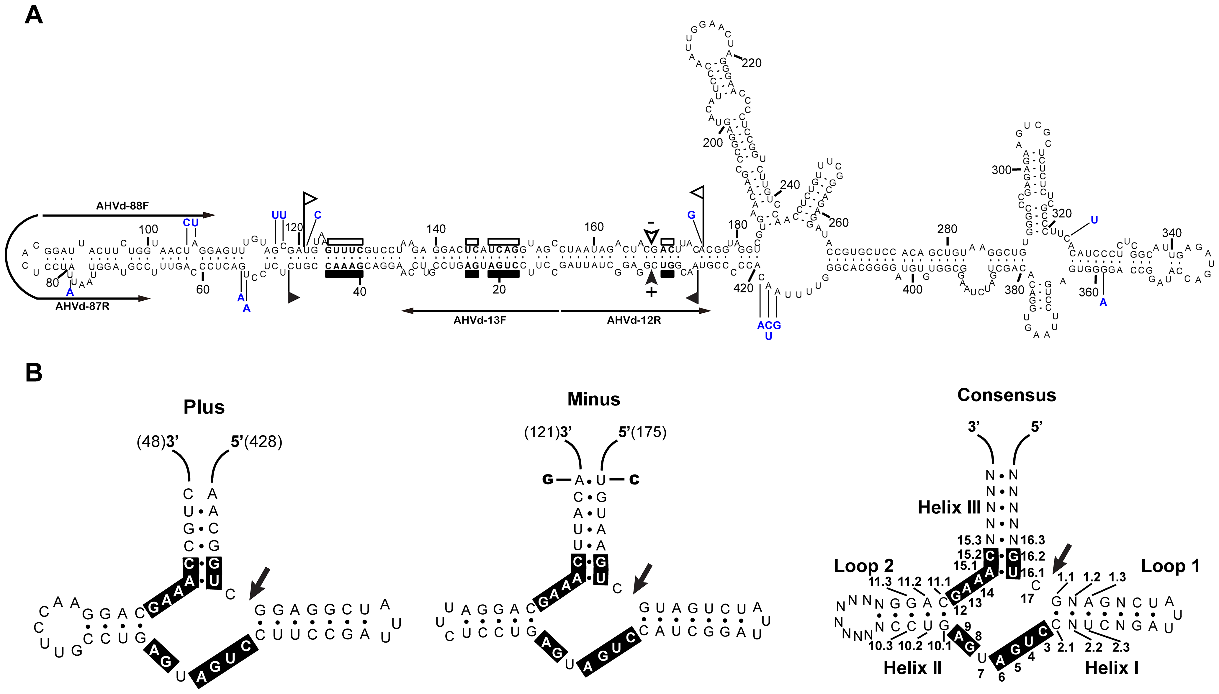 Primary and proposed secondary structures with minimum free energy for AHVd-like RNA.
