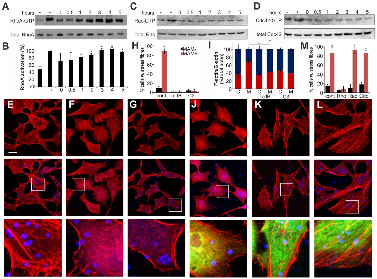 Clustered MAM7 triggeres actin rearrangements through RhoA activation.