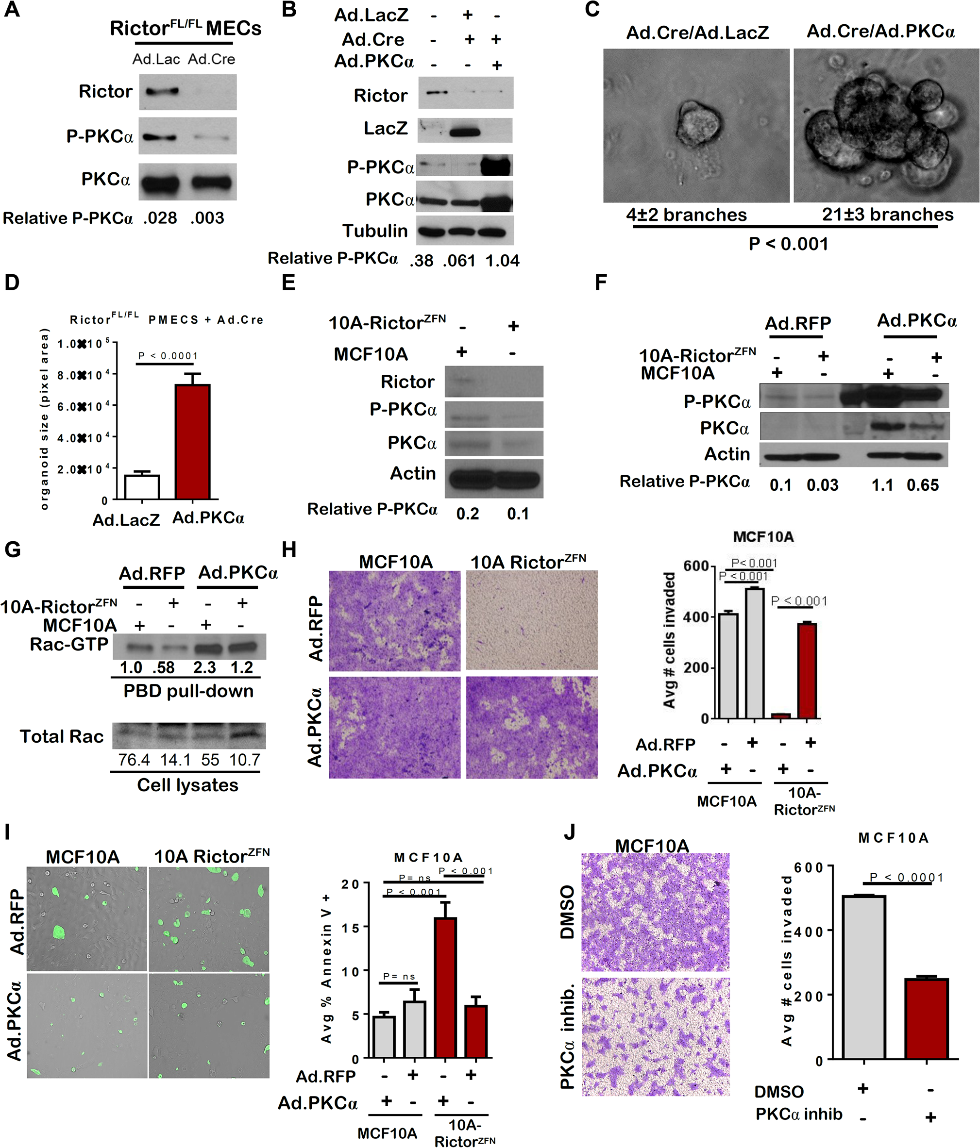 Loss of PKC-alpha-mediated Rac activation in the absence of Rictor.