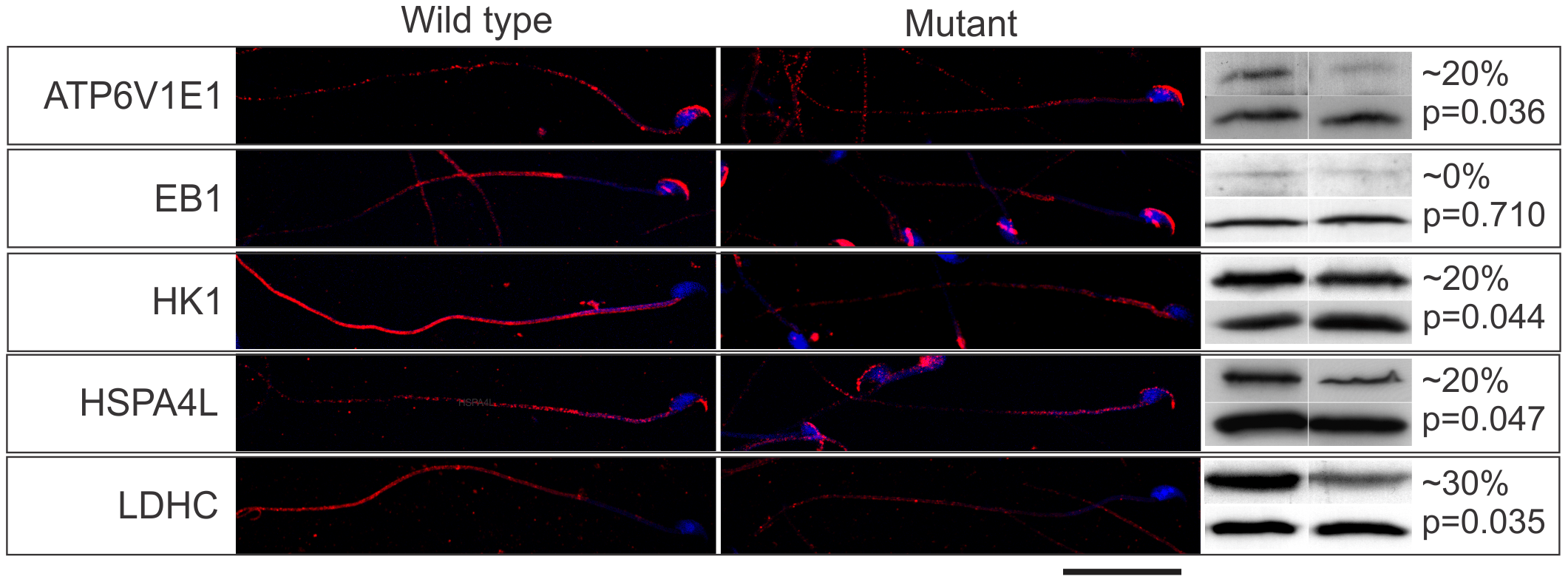 The Mot mutation resulted in the decreased delivery of effector proteins into sperm tails.