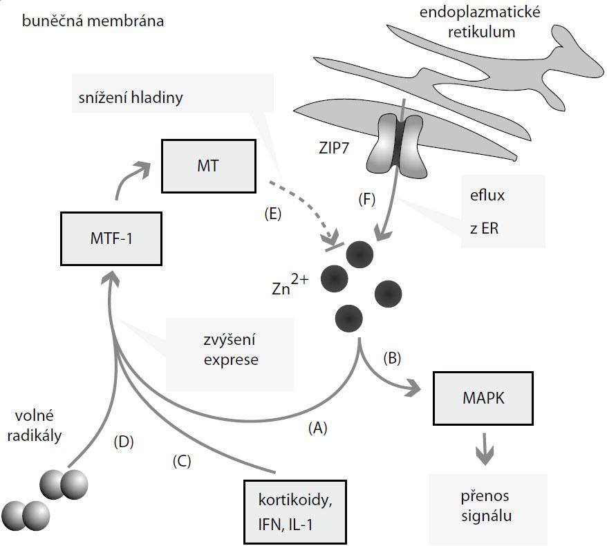 Účinky zinečnatých iontů. Zvýšené množství Zn<sup>2+</sup> se podílí na (A) zvýšení exprese metalothioneinu (MT) prostřednictvím metal regulatory transcription factor 1 (MTF-1) a na (B) transdukci signálu zprostředkované mitogen aktivovanými proteinovými kinázami (MAPK). Na zvýšení exprese MT se podílí (C) také interleukiny (IL), kortikoidy, interferon (IFN) a (D) volné radikály. MT následně (E) reguluje hladinu Zn<sup>2+</sup>. Endoplazmatické retikulum (F) plní roli zásobárny Zn<sup>2+</sup>, přenašeč ZIP7 jej transportuje do cytoplazmy.